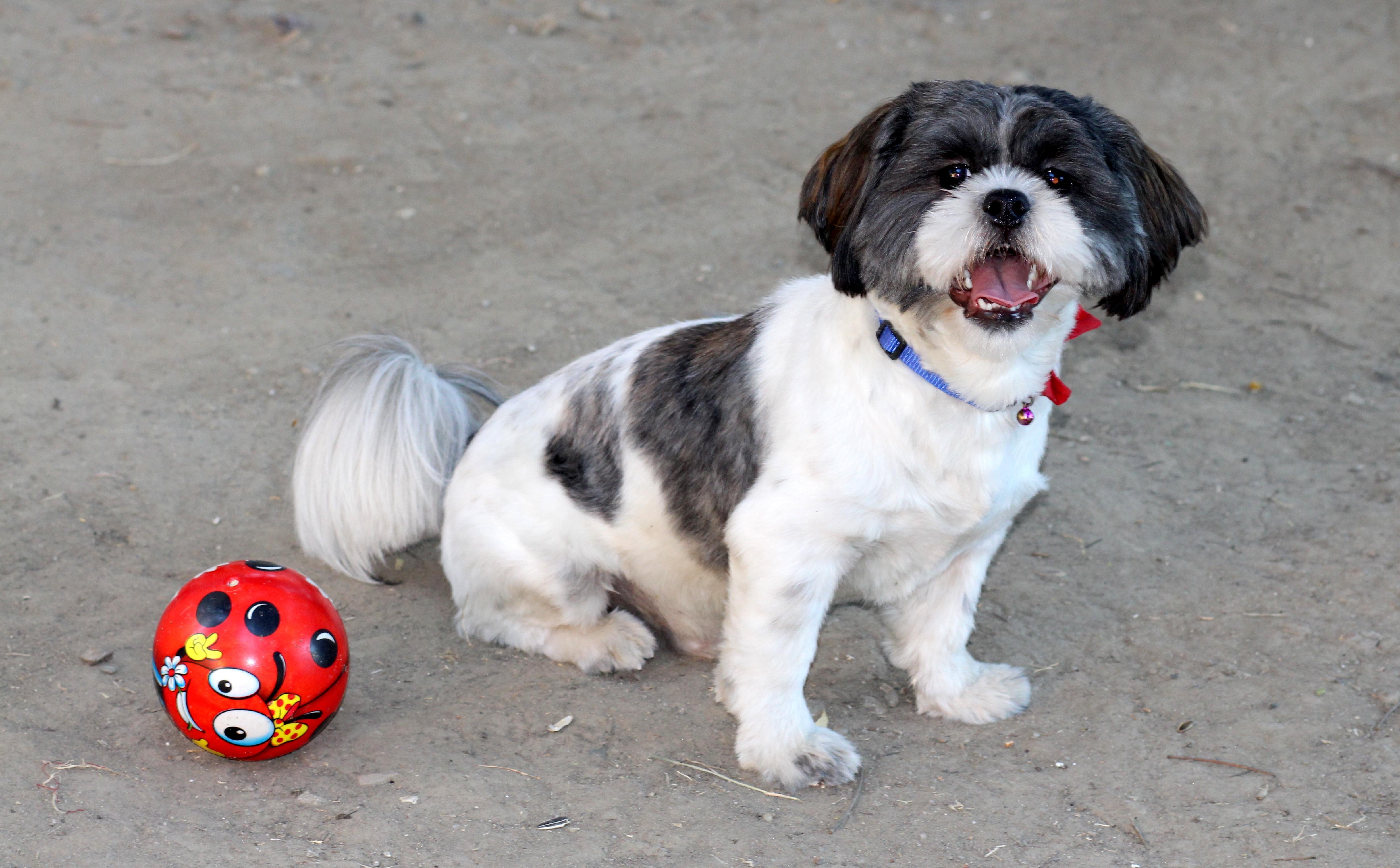 Free Images White Play Puppy Cute Pet Black Ball Vertebrate