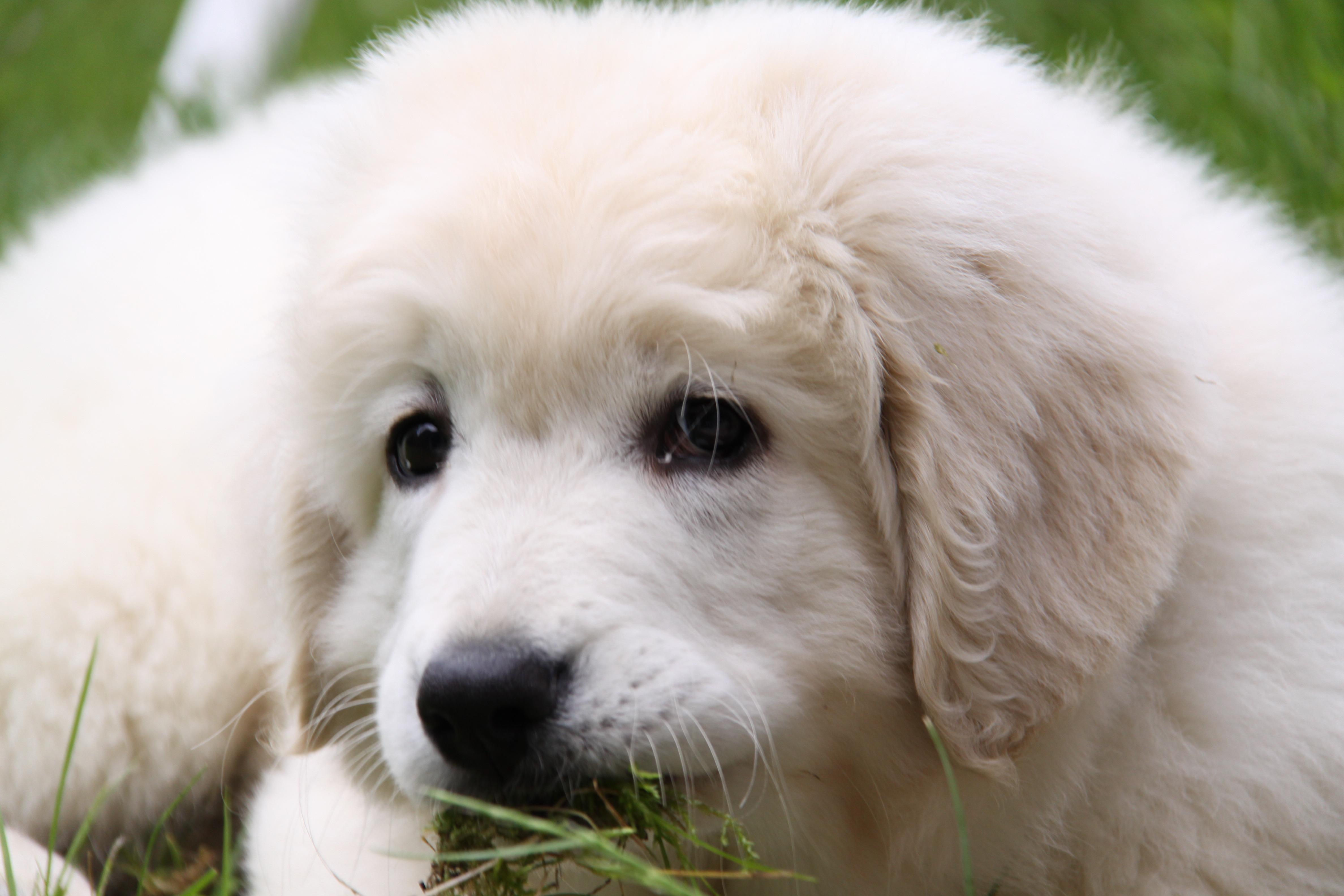 картинки с белыми щенками так