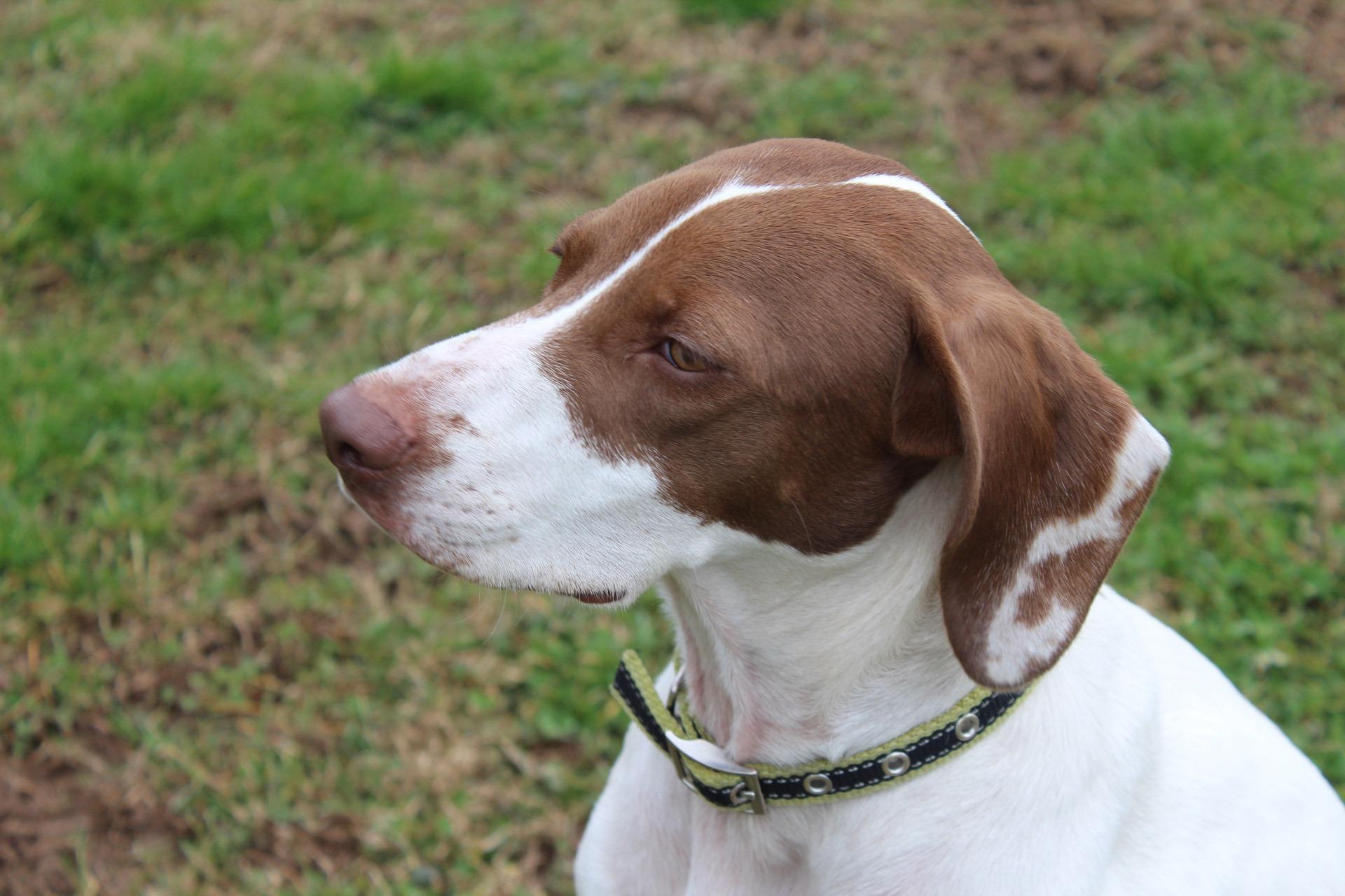 Brown English Pointer Puppies