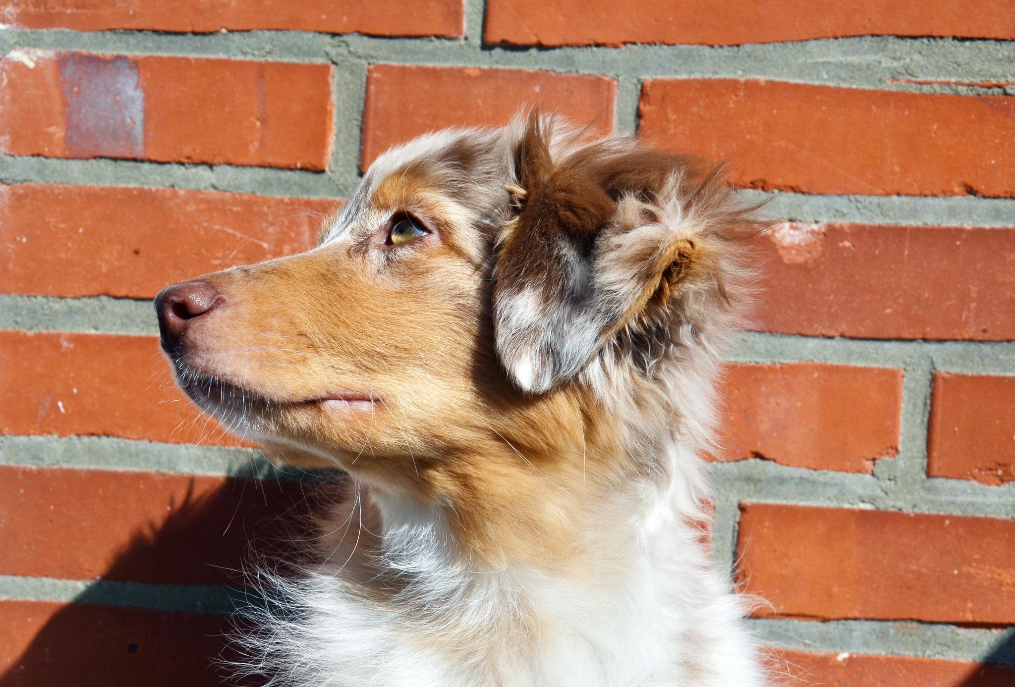 Best Fur Brown Adorable Dog - white-puppy-dog-animal-cute-canine-looking-collie-pet-fur-portrait-coat-young-small-brown-mammal-shepherd-border-collie-vertebrate-western-domestic-adorable-carnivore-dog-breed-breed-doggy-purebred-pedigree-australian-shepherd-pedigreed-street-dog-shetland-sheepdog-dog-like-mammal-carnivoran-dog-breed-group-miniature-australian-shepherd-rough-collie-scotch-collie-yuna-773919  Gallery_661017  .jpg