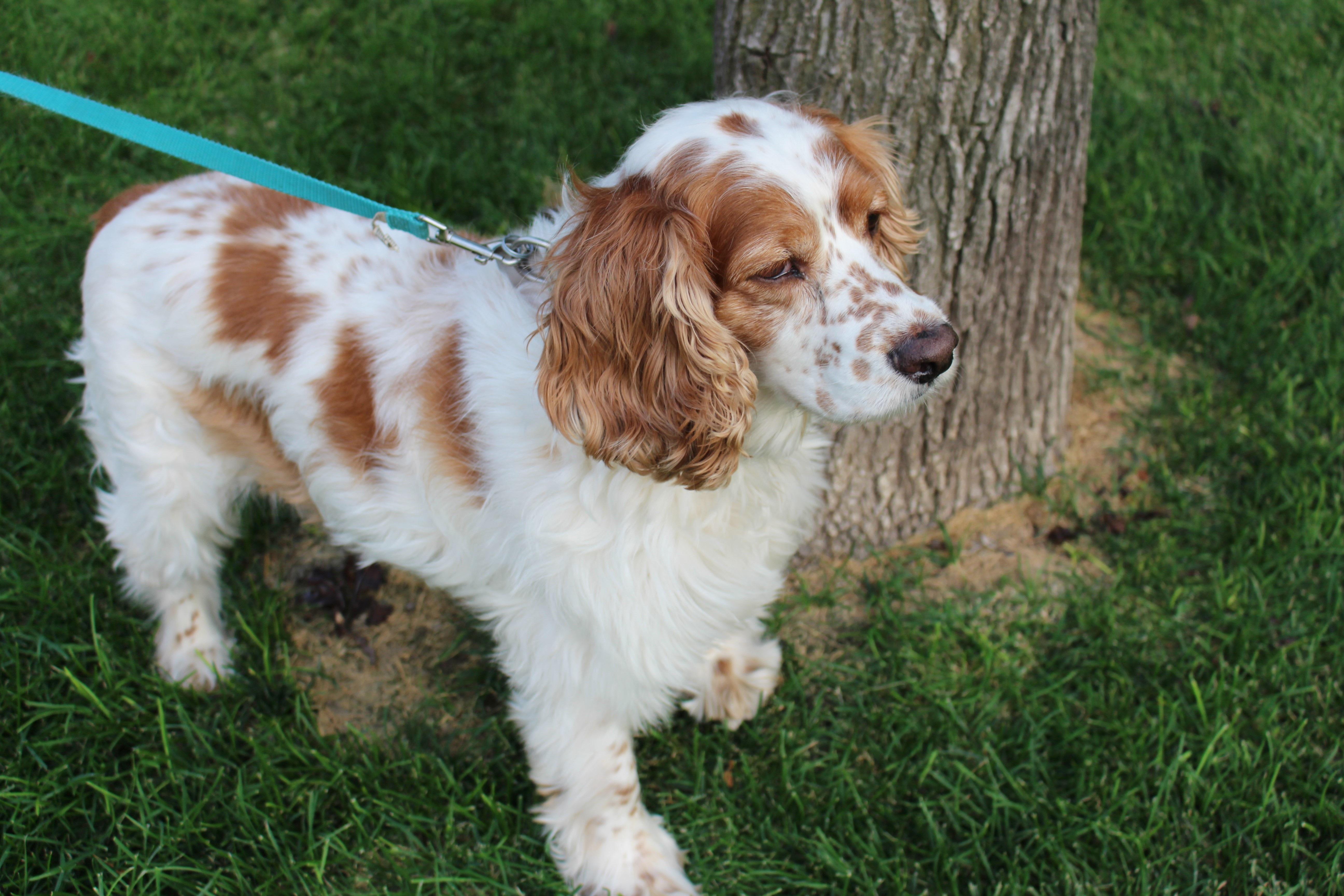 Must see Cavalier Canine Adorable Dog - white-puppy-dog-animal-cute-canine-looking-pet-fur-mammal-spaniel-happy-vertebrate-english-adorable-dog-breed-breed-doggy-cocker-brittany-purebred-cavalier-king-charles-spaniel-cats-and-dogs-king-charles-spaniel-setter-dog-like-mammal-carnivoran-english-cocker-spaniel-dog-crossbreeds-english-springer-spaniel-drentse-patrijshond-french-spaniel-cavachon-russian-spaniel-field-spaniel-american-cocker-spaniel-welsh-springer-spaniel-picardy-spaniel-694207  Perfect Image Reference_103319  .jpg