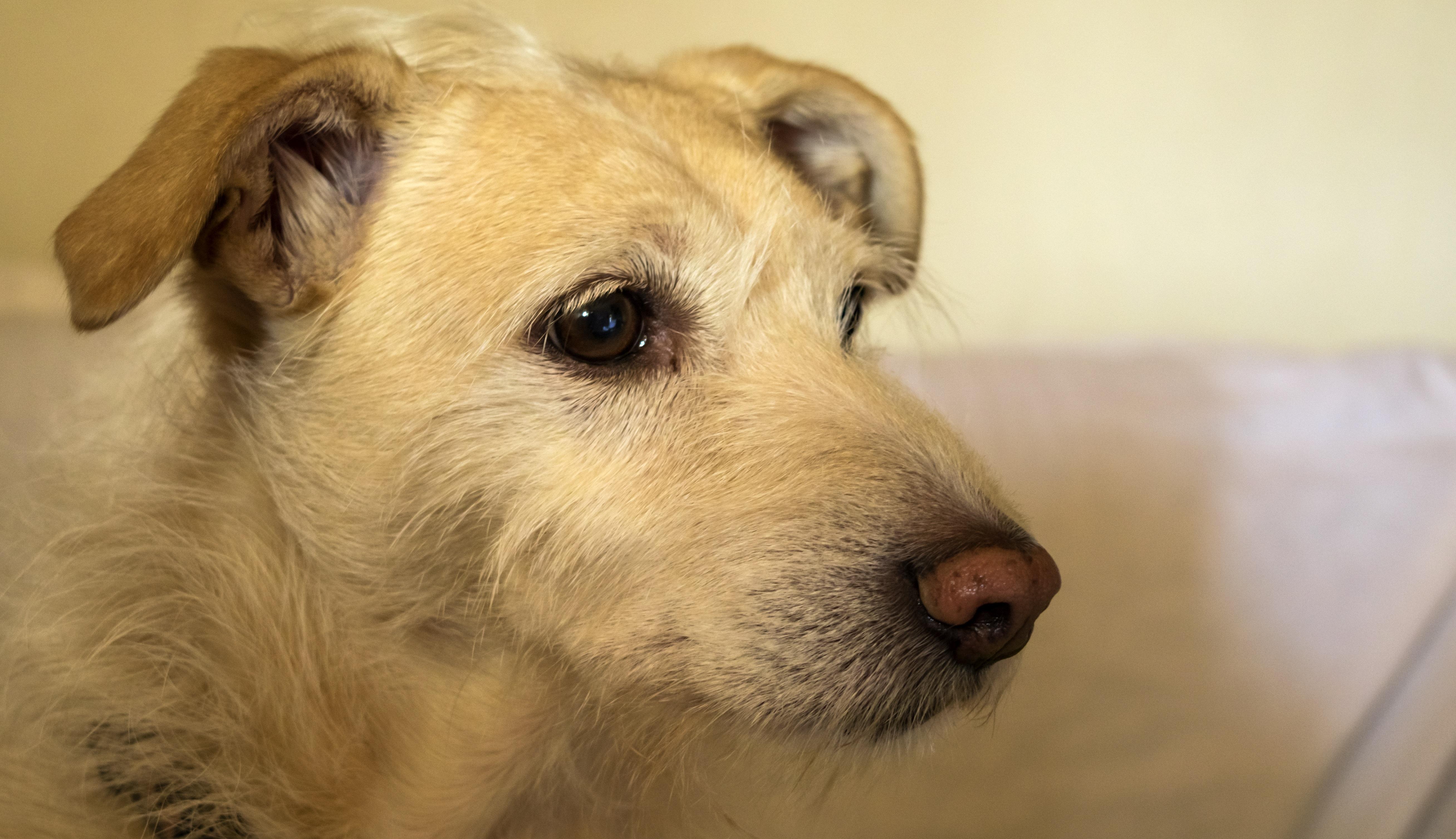 Free white puppy animal cute pet face vertebrate