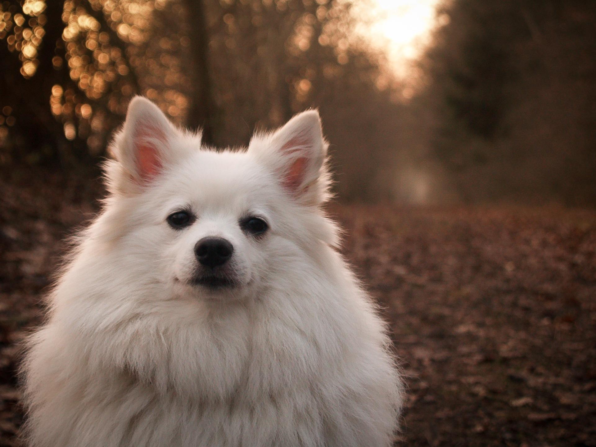 White German Spitz Puppy