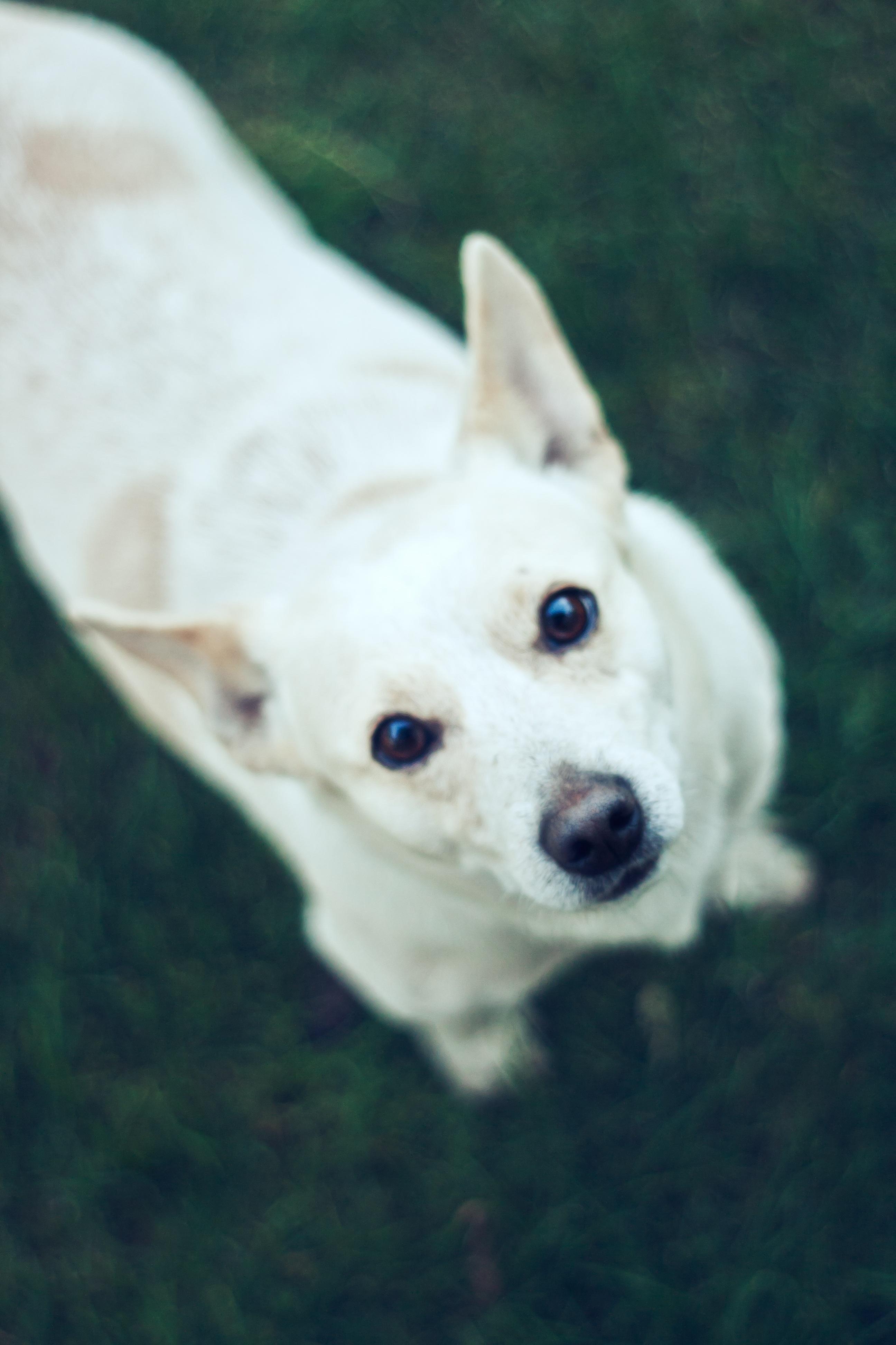 Free white puppy animal cute pet small vertebrate