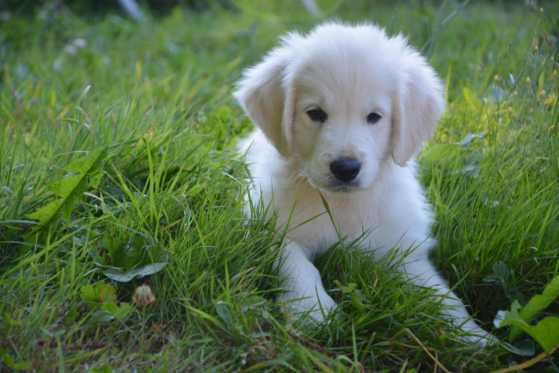 Fotoğraf Beyaz Köpek Yavrusu Sevimli Altın Memeli Evcil