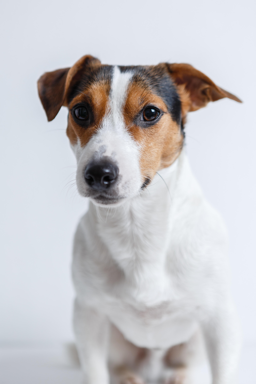 Free Images : white, puppy, pet, fur, sitting, studio, nose, happy ...