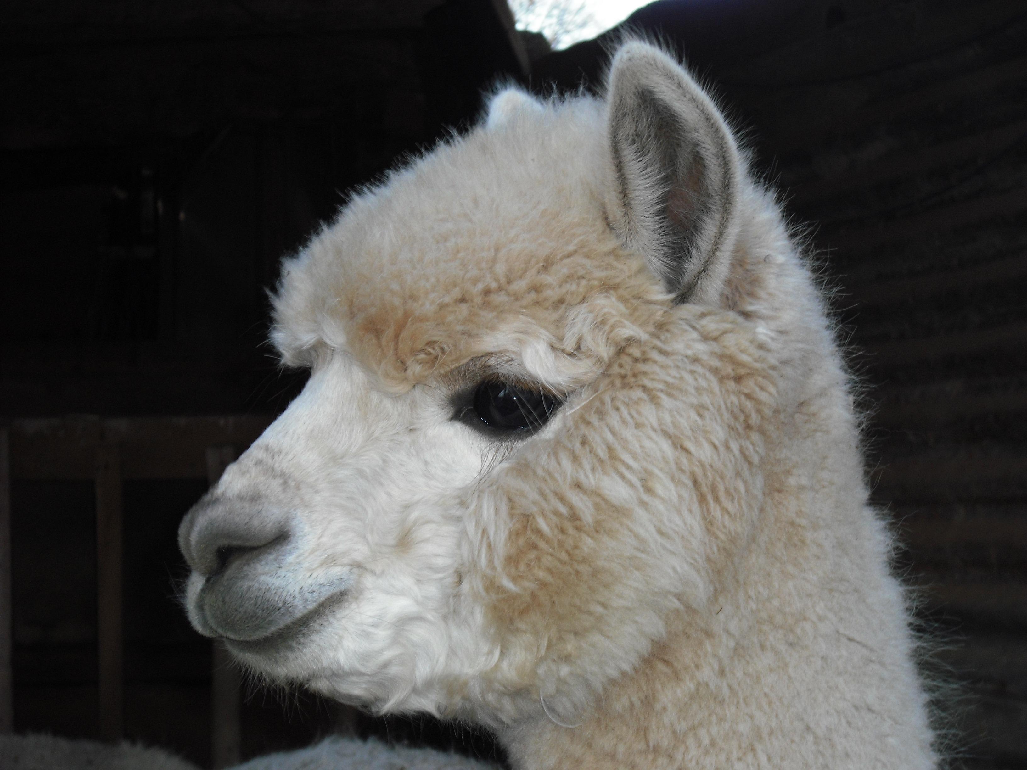trắng Cừu Động vật có vú Động vật Llama Alpaca Động vật có xương sống quăn