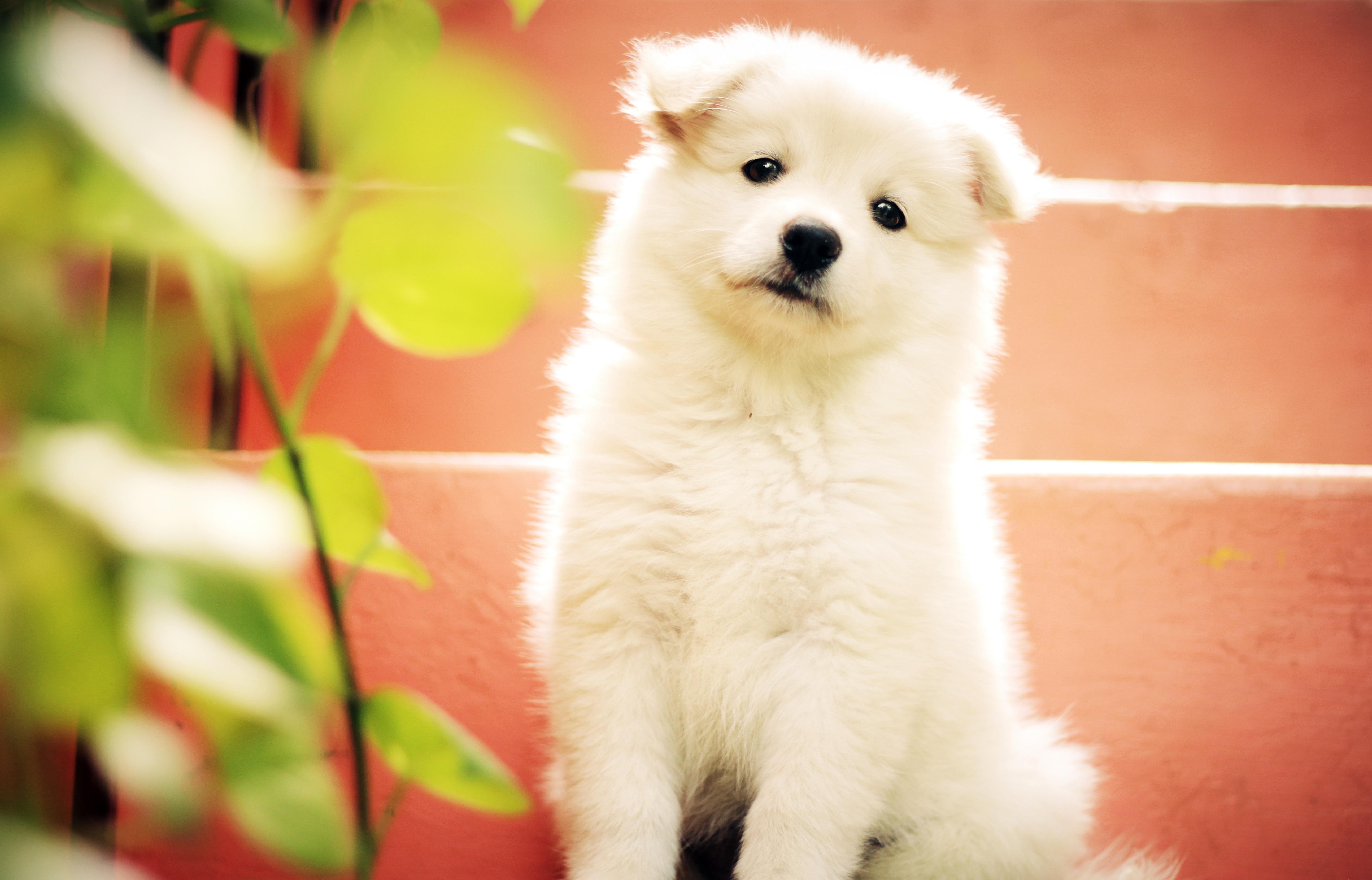 Gambar Putih Manis Anak Anjing Hewan Imut Melihat Membelai Bulu Muda Duduk Kecil Binatang Menyusui Teman Bertulang Belakang Lokal Menarik Buntang Jenis Anjing Berkembang Biak Samoyed Cute Puppy Akita Inu Anjing