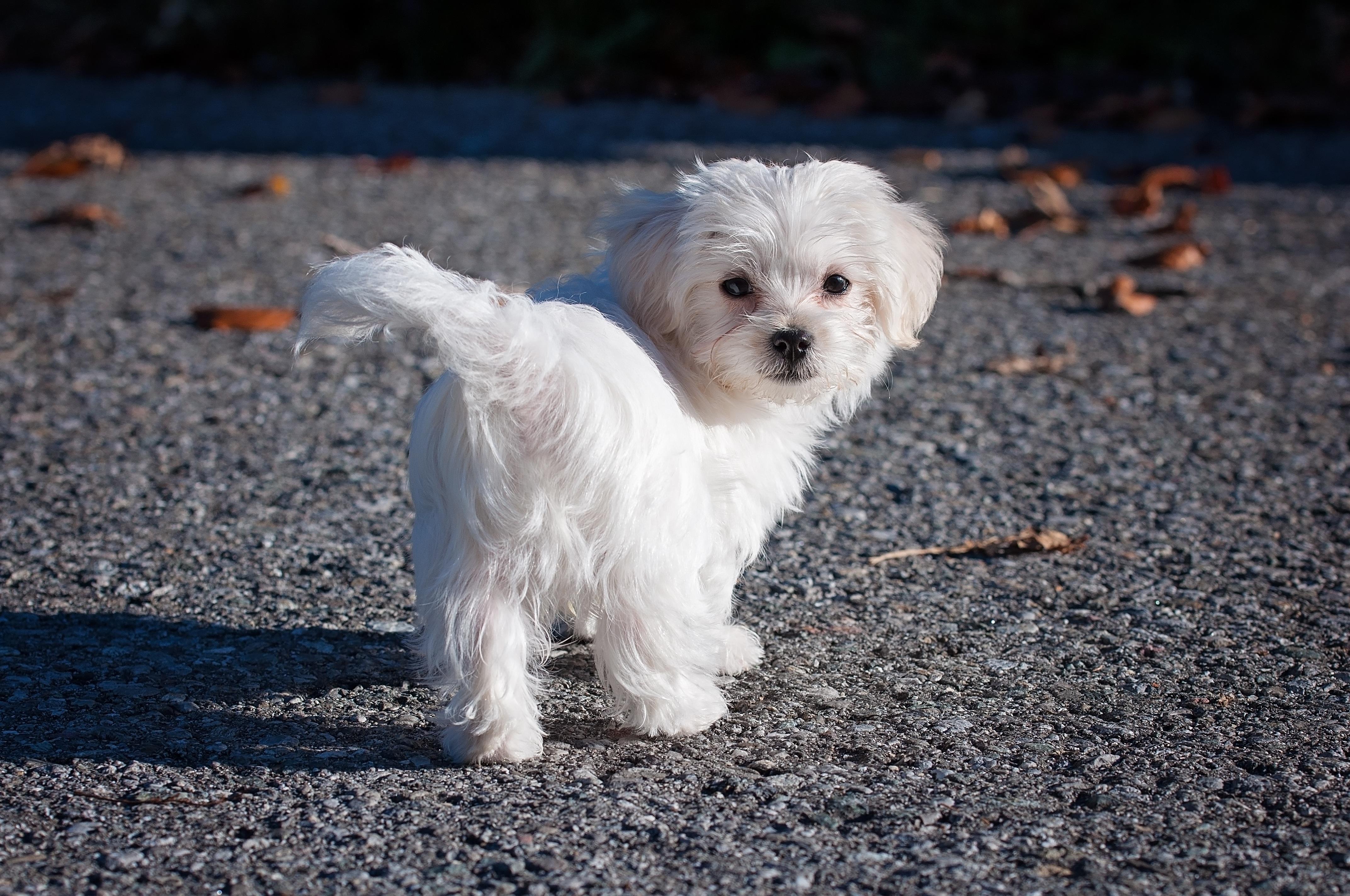 Hvit Liten Hund