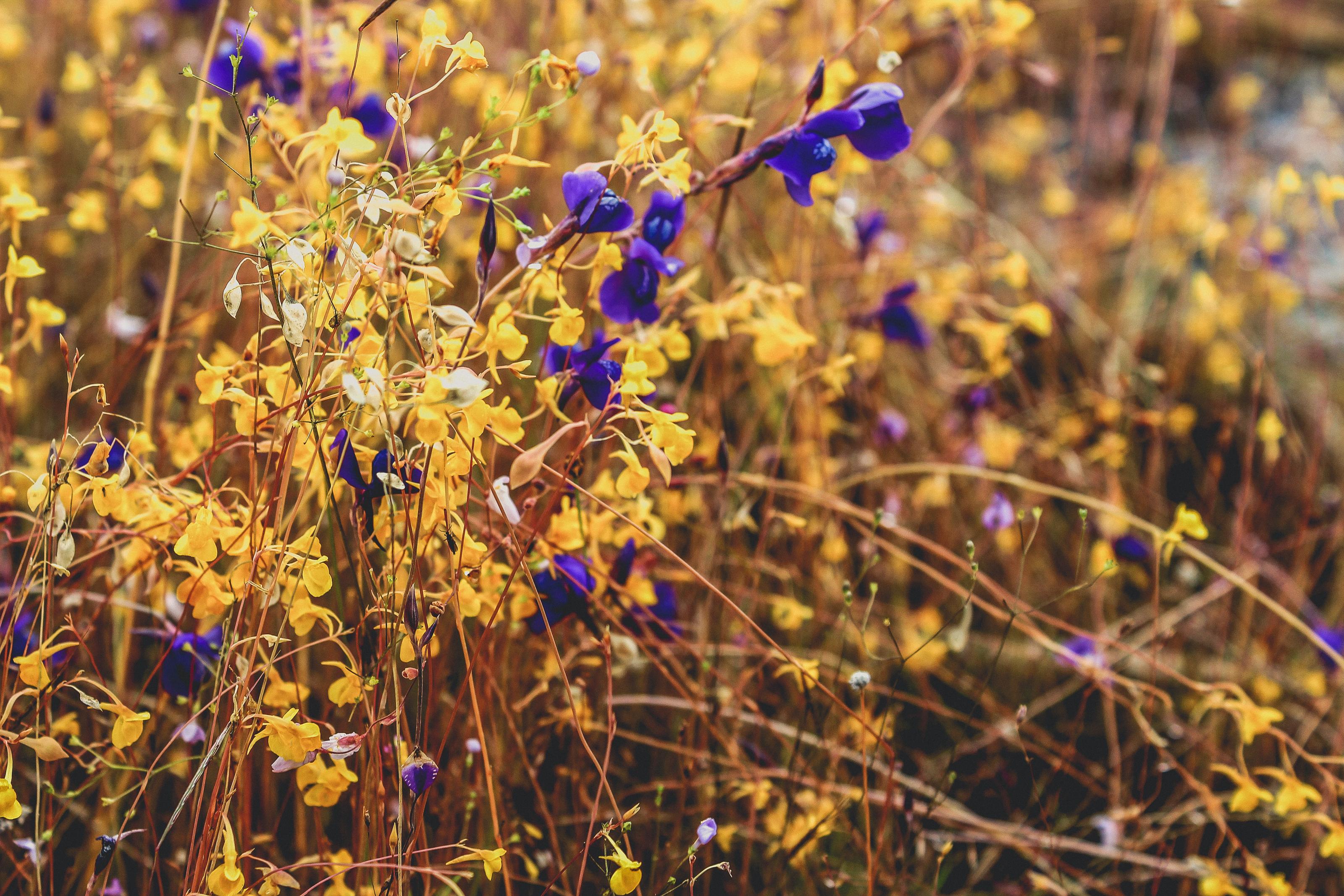 8a7113f78 Free fotobanka : divoký, květ, barva, Venkovní, Příroda, Krásná, pole,  letní, krajina, žlutý, Thajsko, čerstvý, květinový, zelená, cestovat, park,  hora, ...