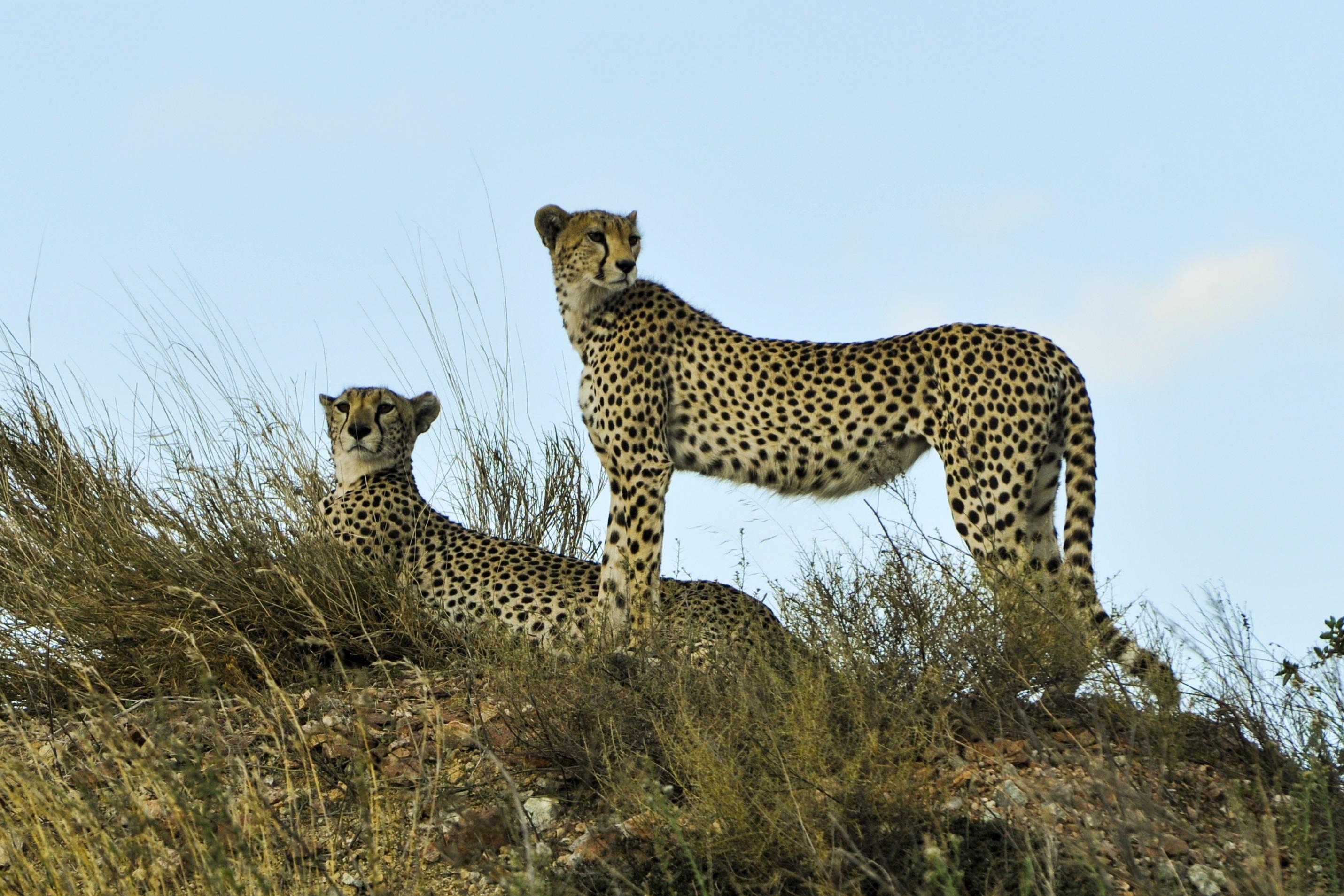 фотографии леопарда и гепарда постройки нового