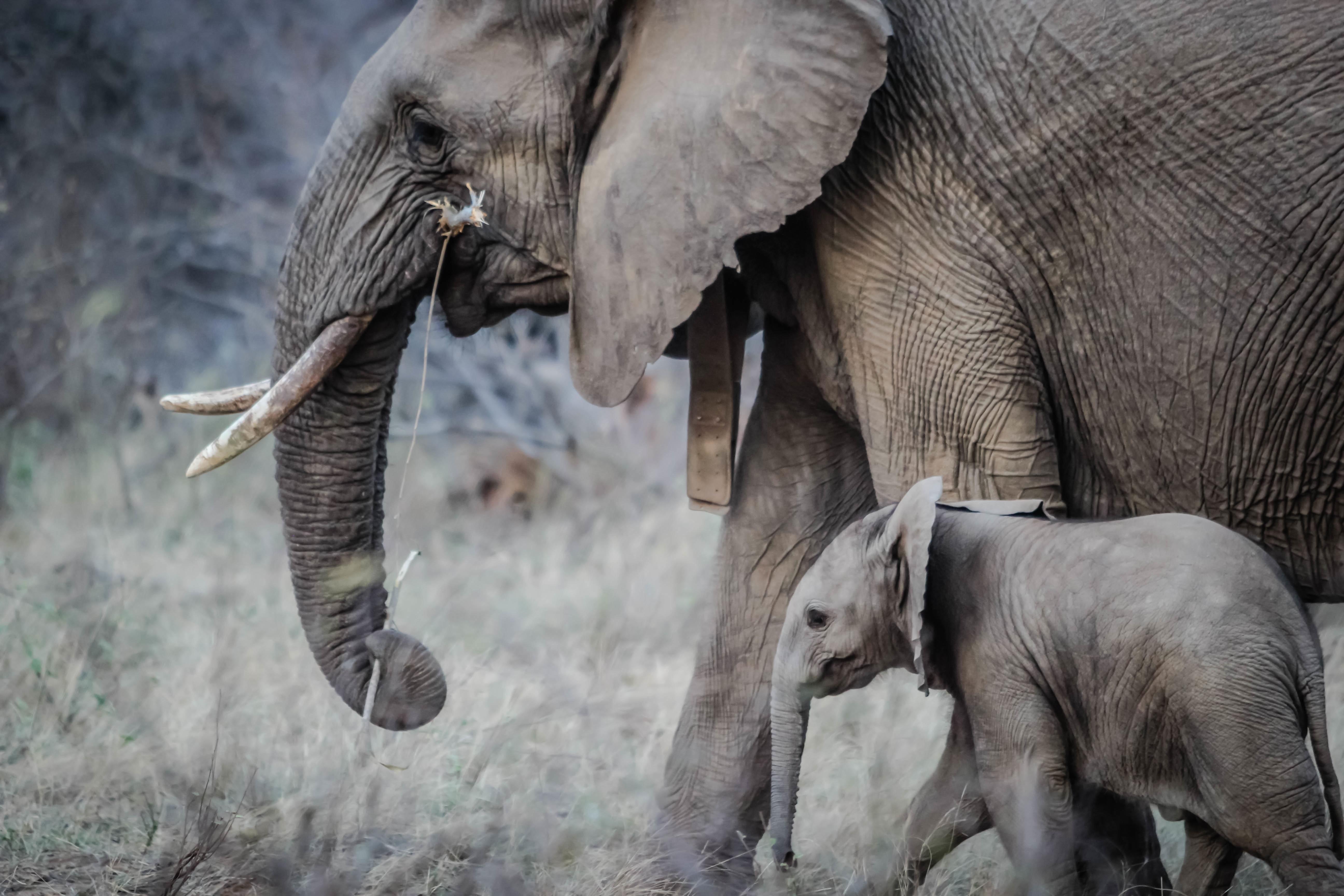 Elephants Animal Animals Calf: Free Images : Wilderness, Animal, Wildlife, Wild, Zoo