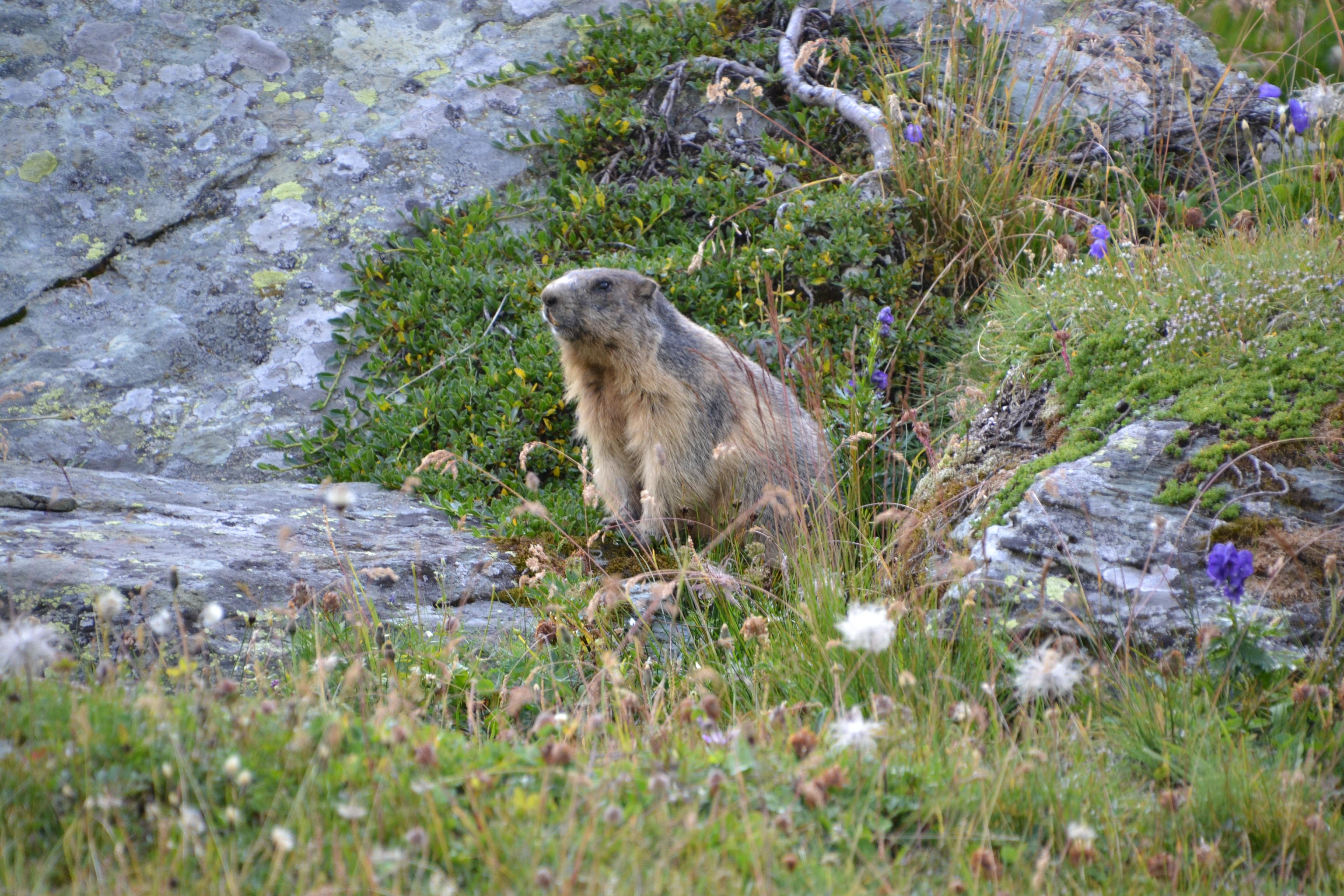 Alpine Marmot, Hohe Tauern National Park, Austria скачать
