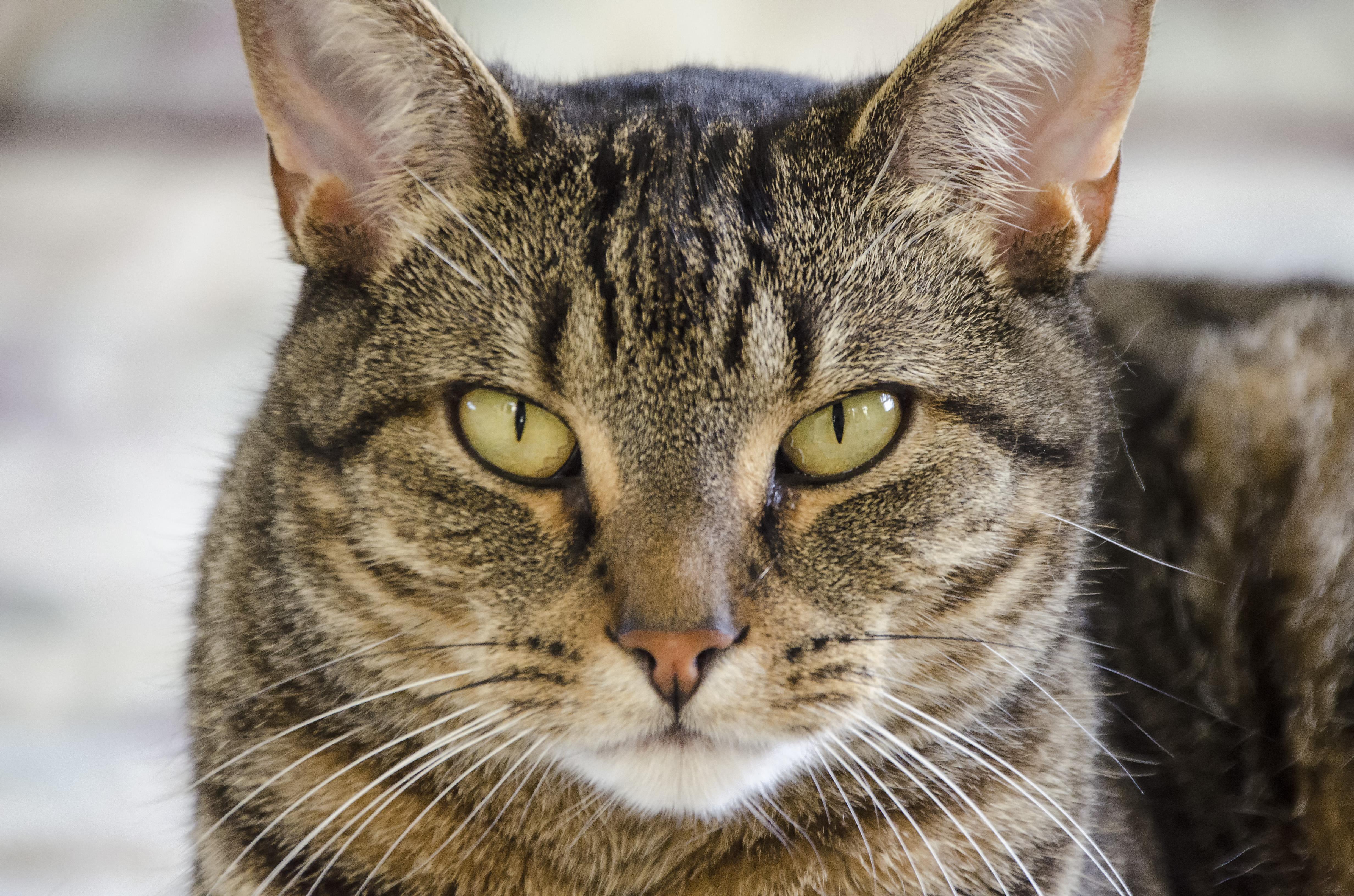 европейская короткошерстная кошка фото бесплатно