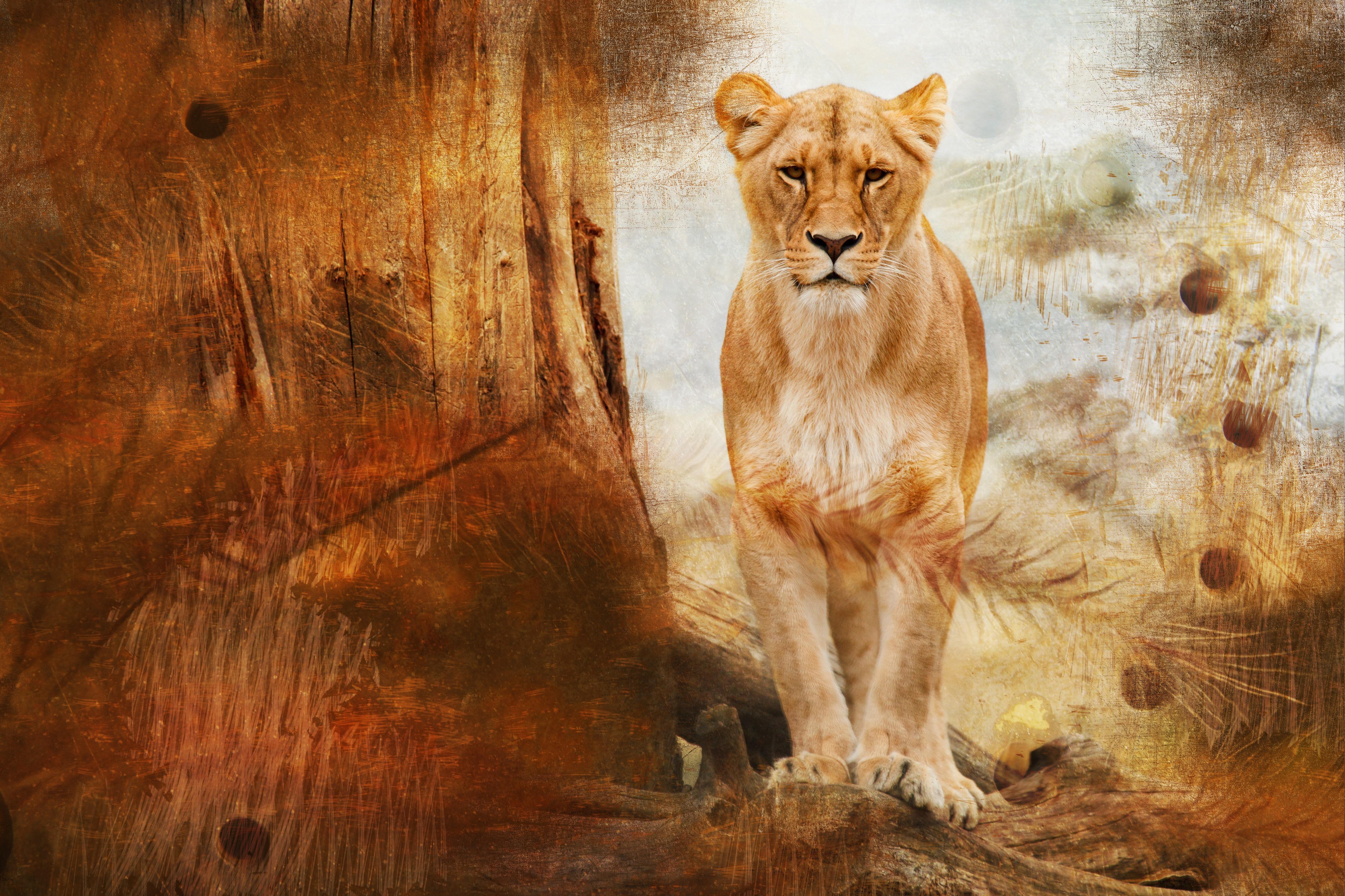Fotograf Vahsi Hayat Kurk Afrika Fauna Aslan Boyama Buyuk