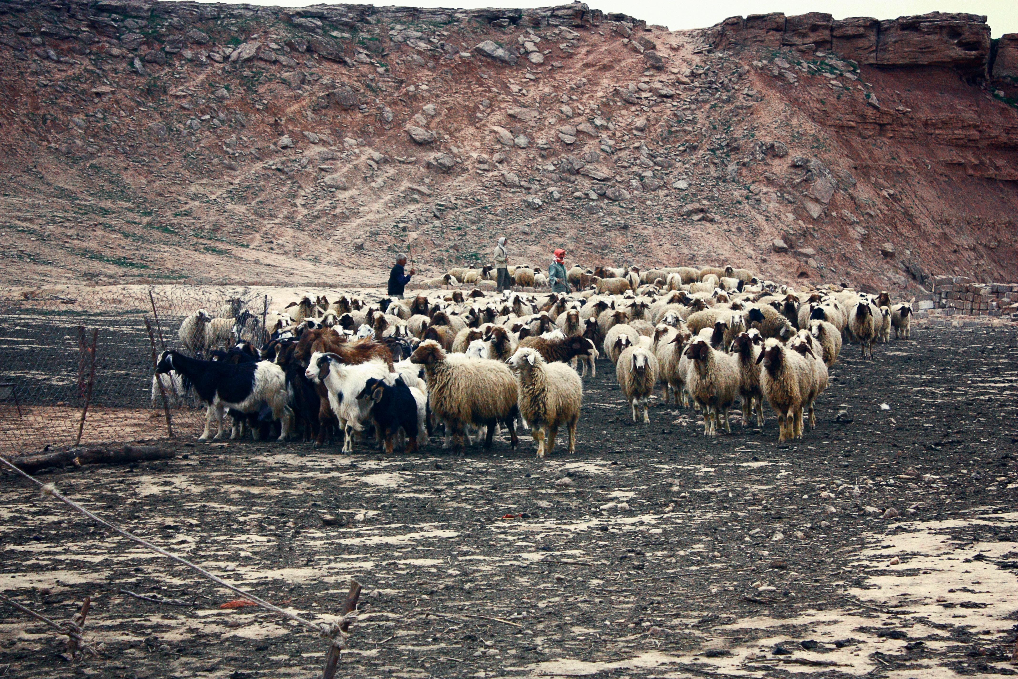 Images gratuites faune ch vre troupeau mouton - Photos de moutons gratuites ...
