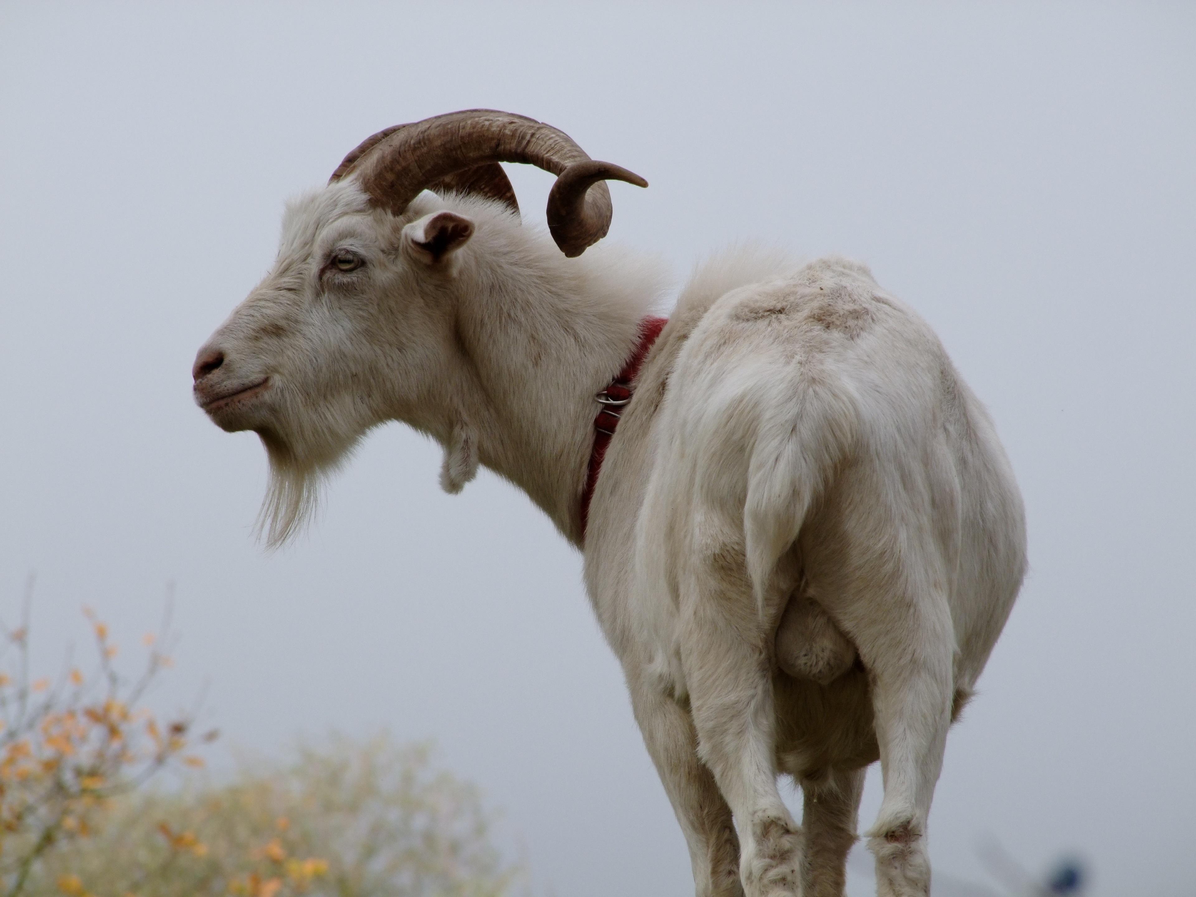 Gambar Margasatwa Kawanan Domba Binatang Menyusui Fauna