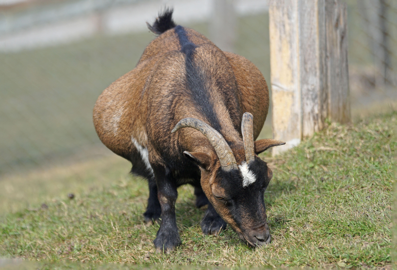 Gratis billeder : dyreliv, horn, kæledyr, græs, græsning ...