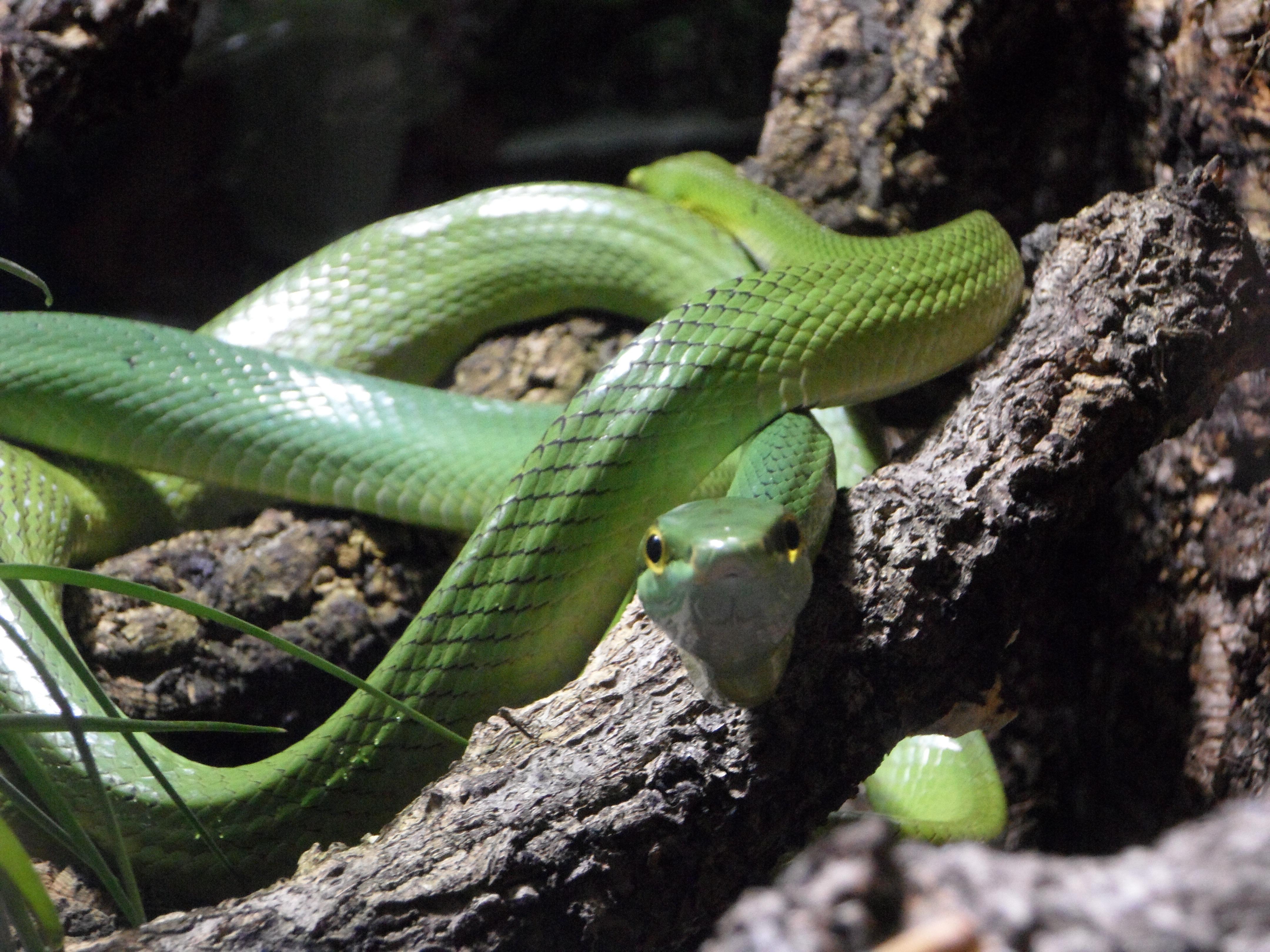 Mamba Käärme