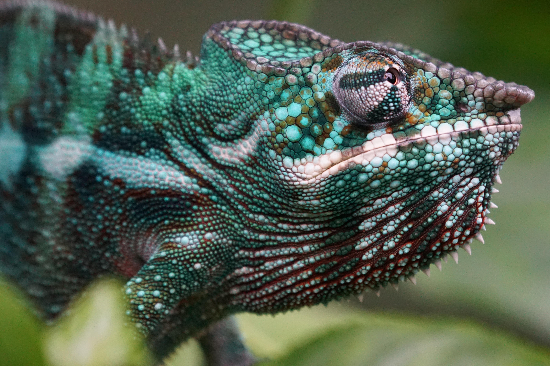 gratis afbeeldingen  wildlife groen leguaan fauna