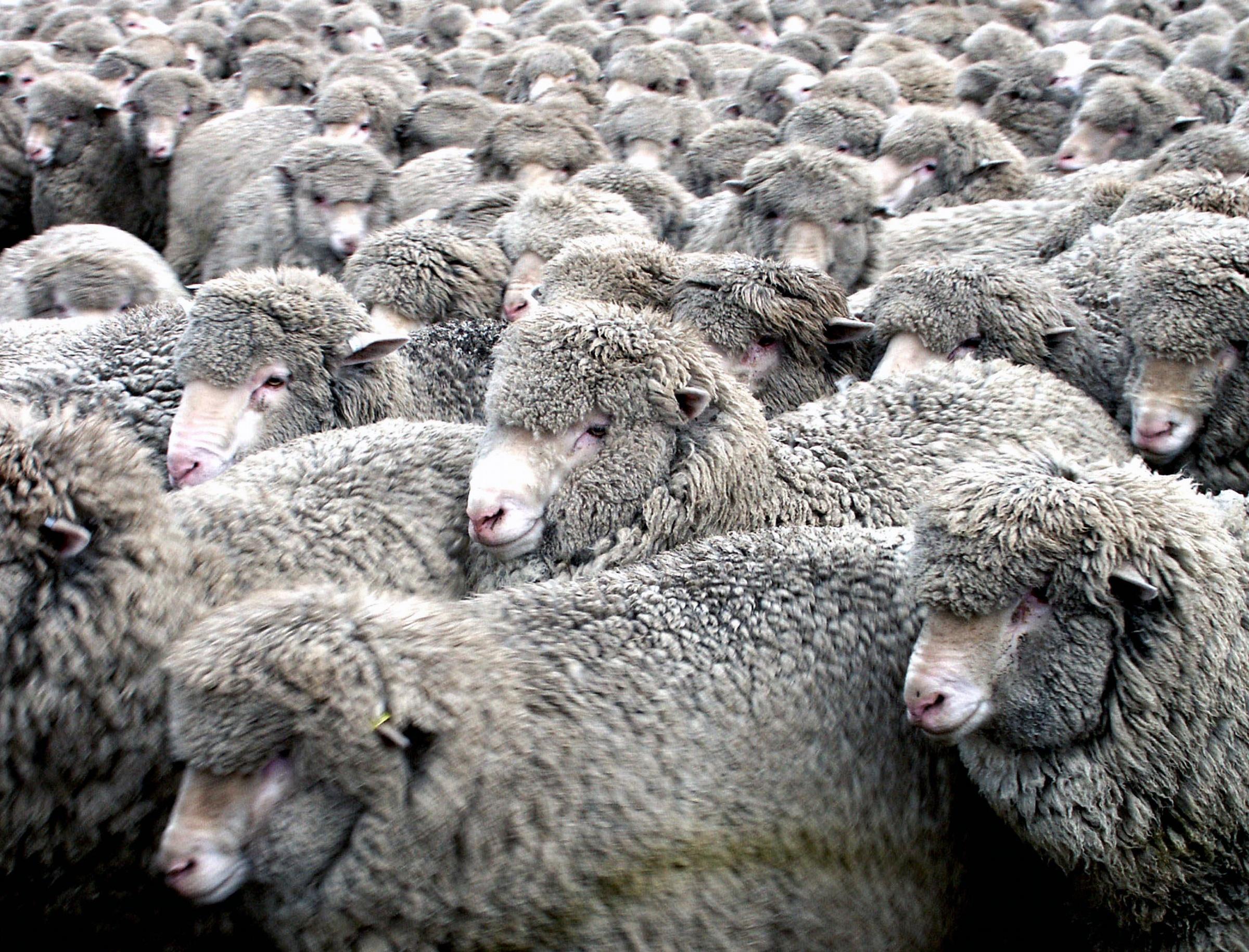 Images gratuites faune mammif re la laine nouvelle - Photos de moutons gratuites ...