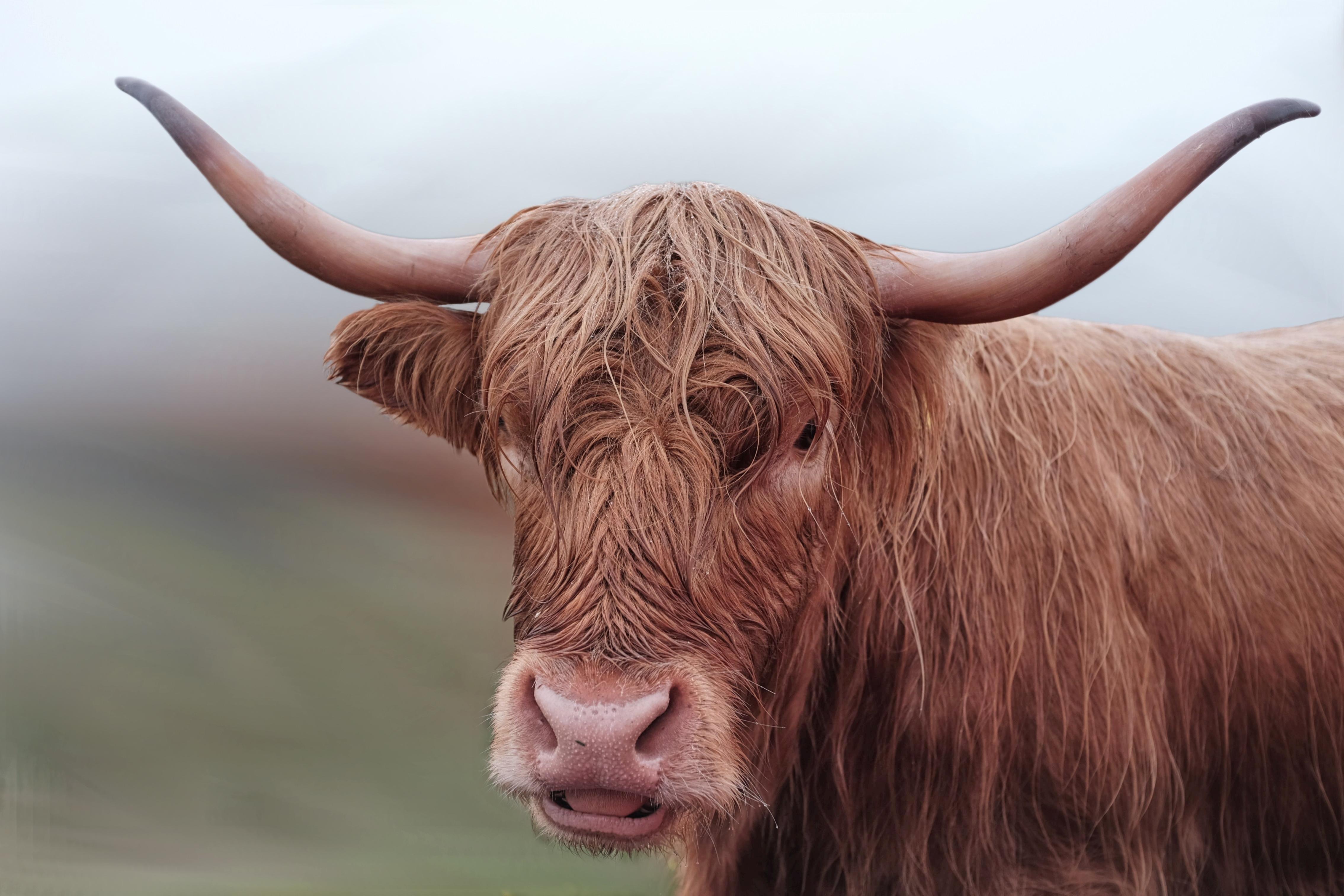 images gratuites faune corne vache marron crini re du boeuf fermer taureau t te. Black Bedroom Furniture Sets. Home Design Ideas