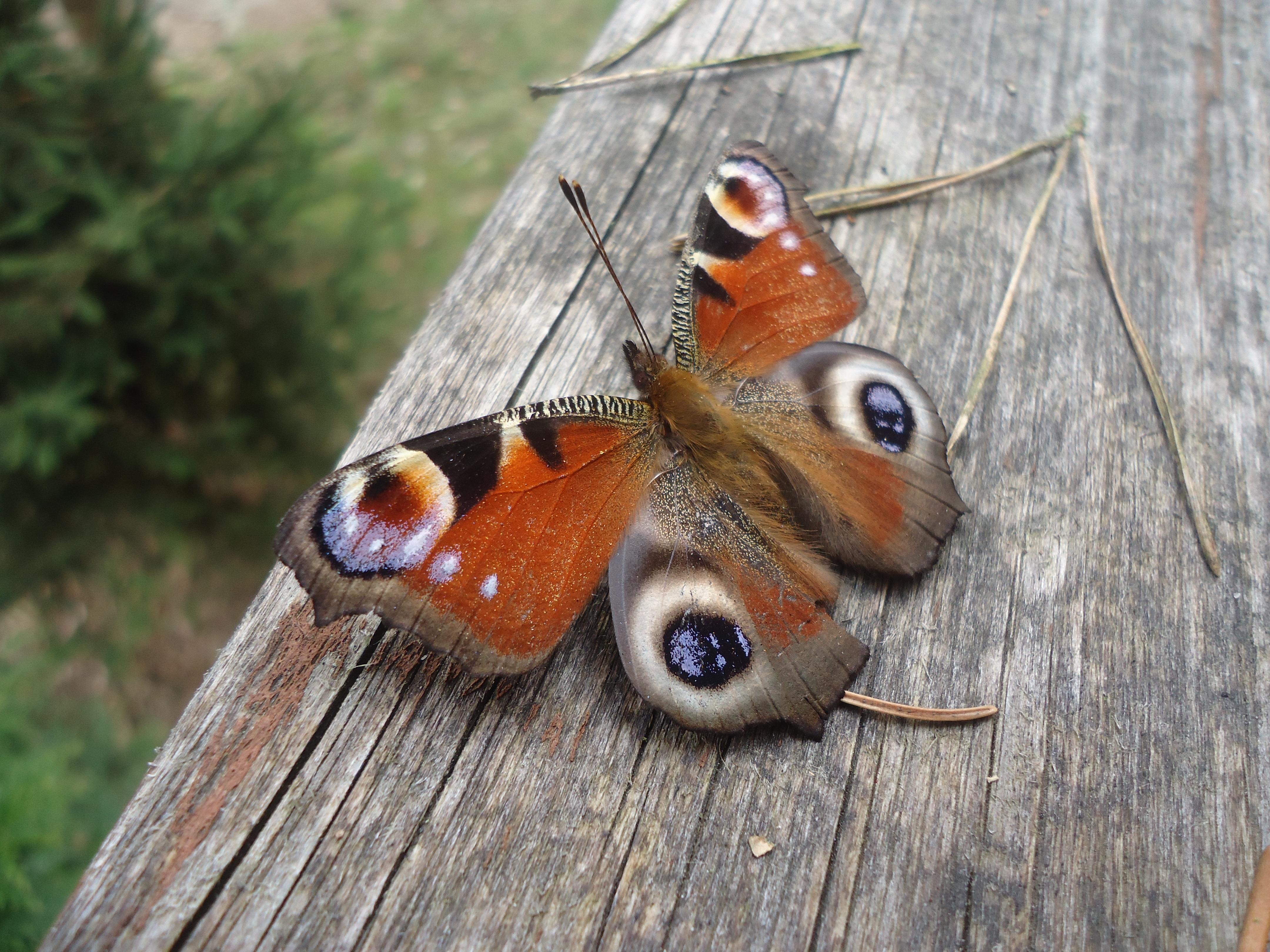 Fotoğraf Vahşi Hayat Böcek Güve Fauna Omurgasız Boyama