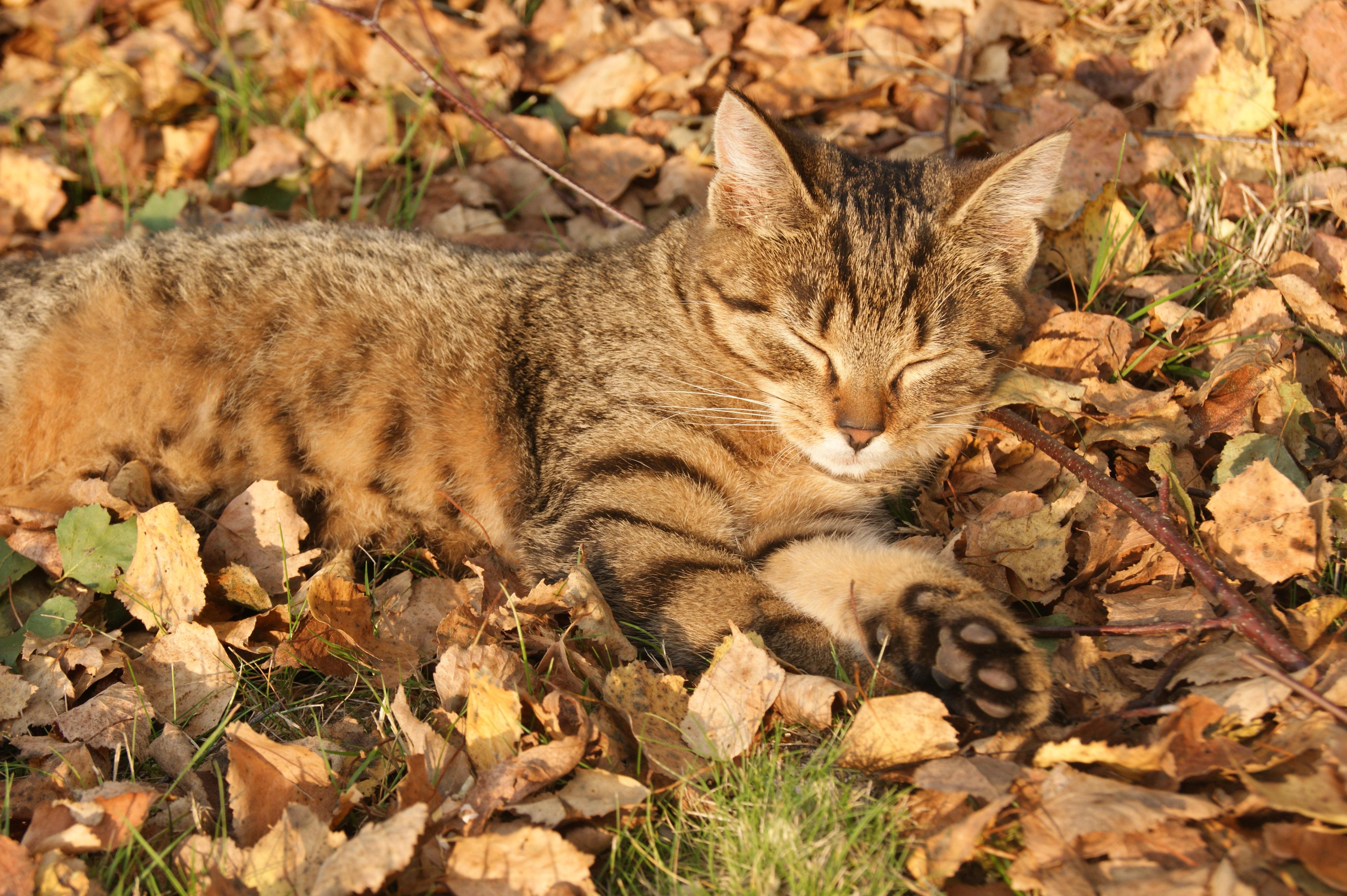cat lynx autumn foliage - photo #15