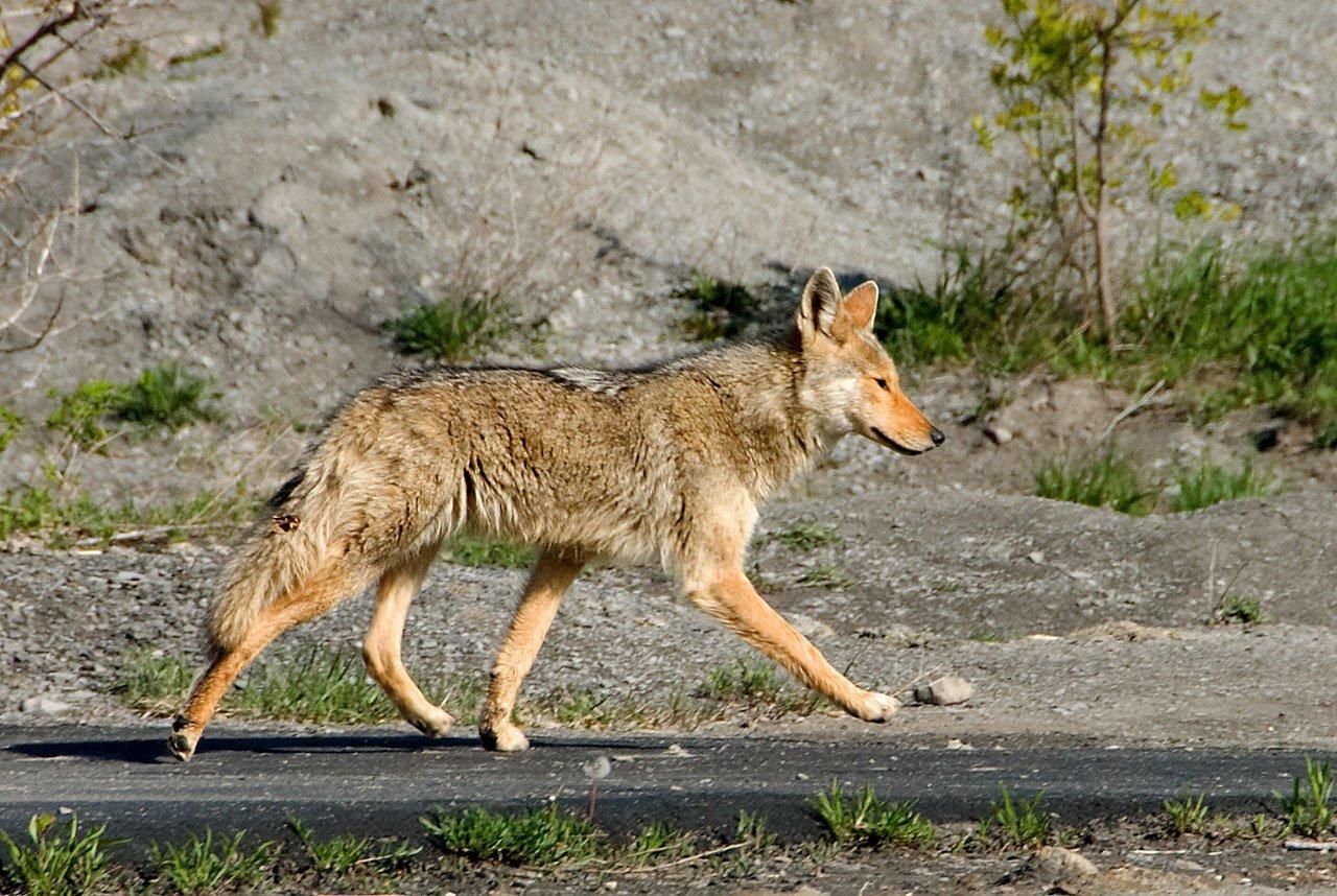 images gratuites faune coyote renard rouge vert br nouveau york hambourg gamelle. Black Bedroom Furniture Sets. Home Design Ideas