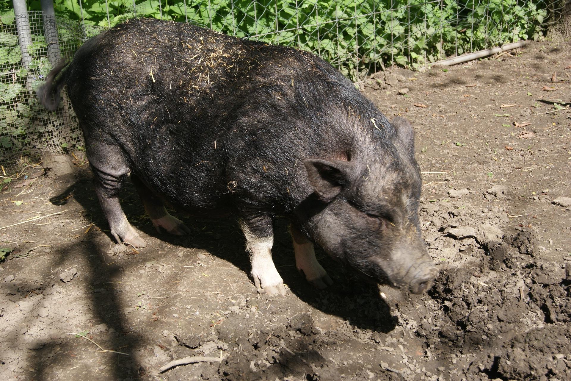 Картинки свиньи кабана