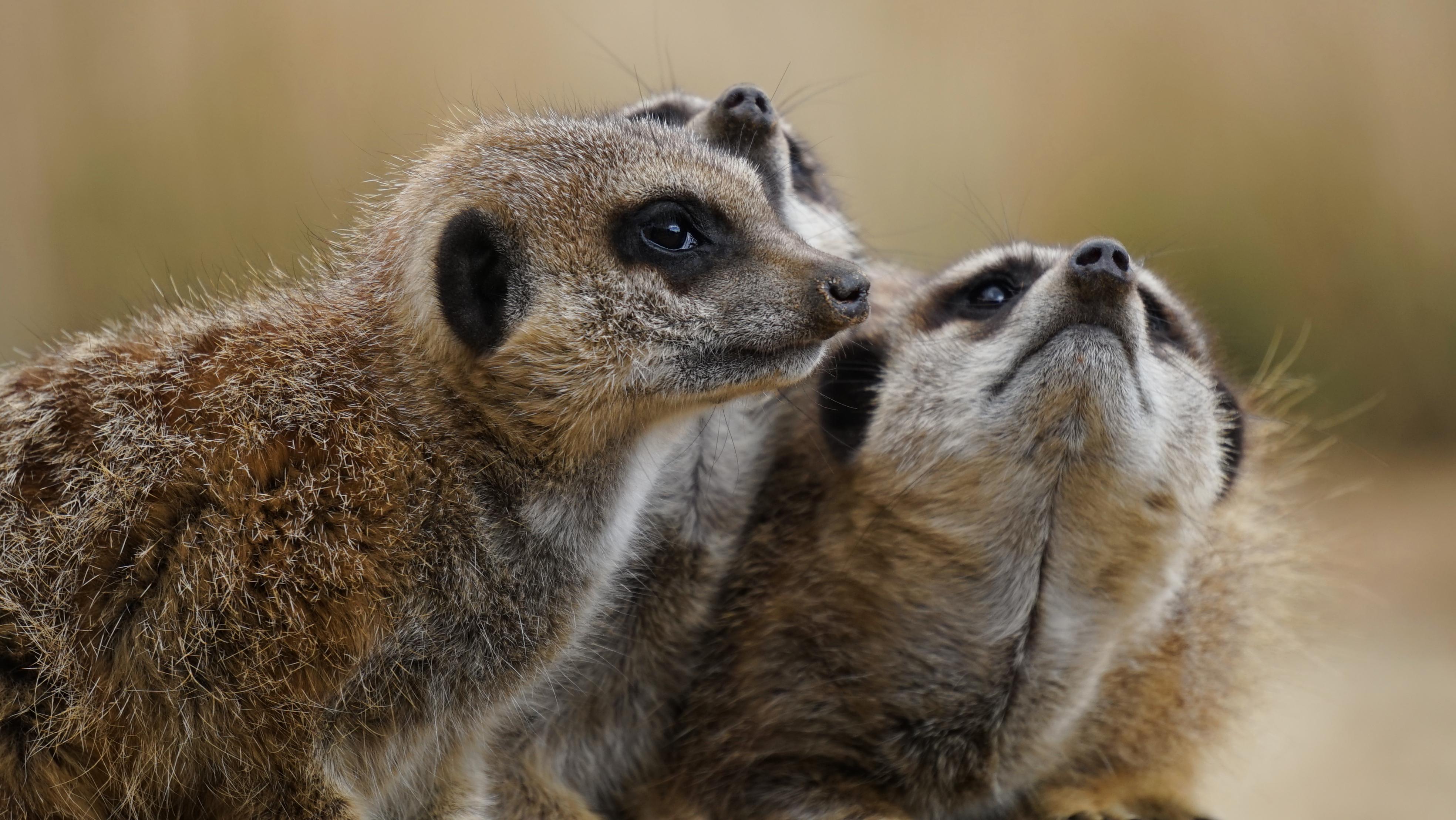 Images gratuites faune mammif re fermer moustaches - Images d animaux sauvages gratuites ...
