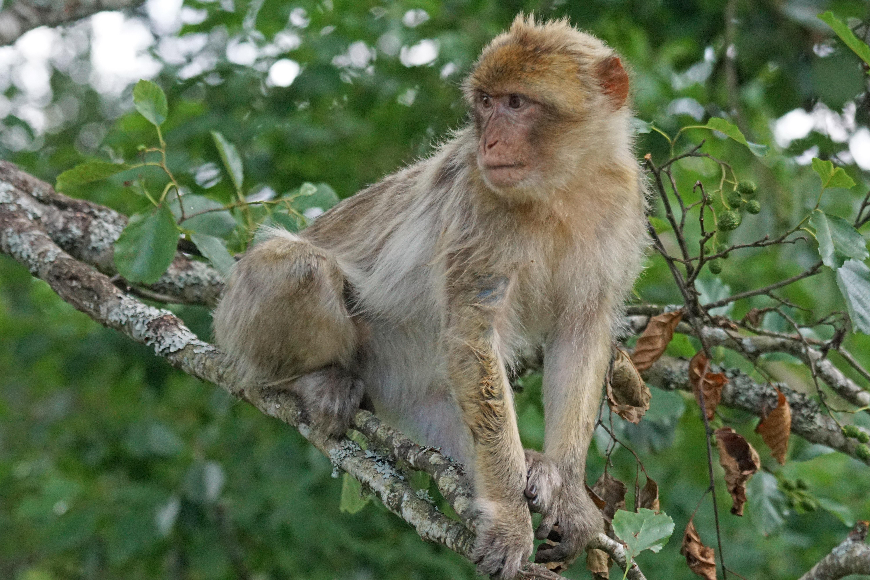 картинки диких обезьян является символом