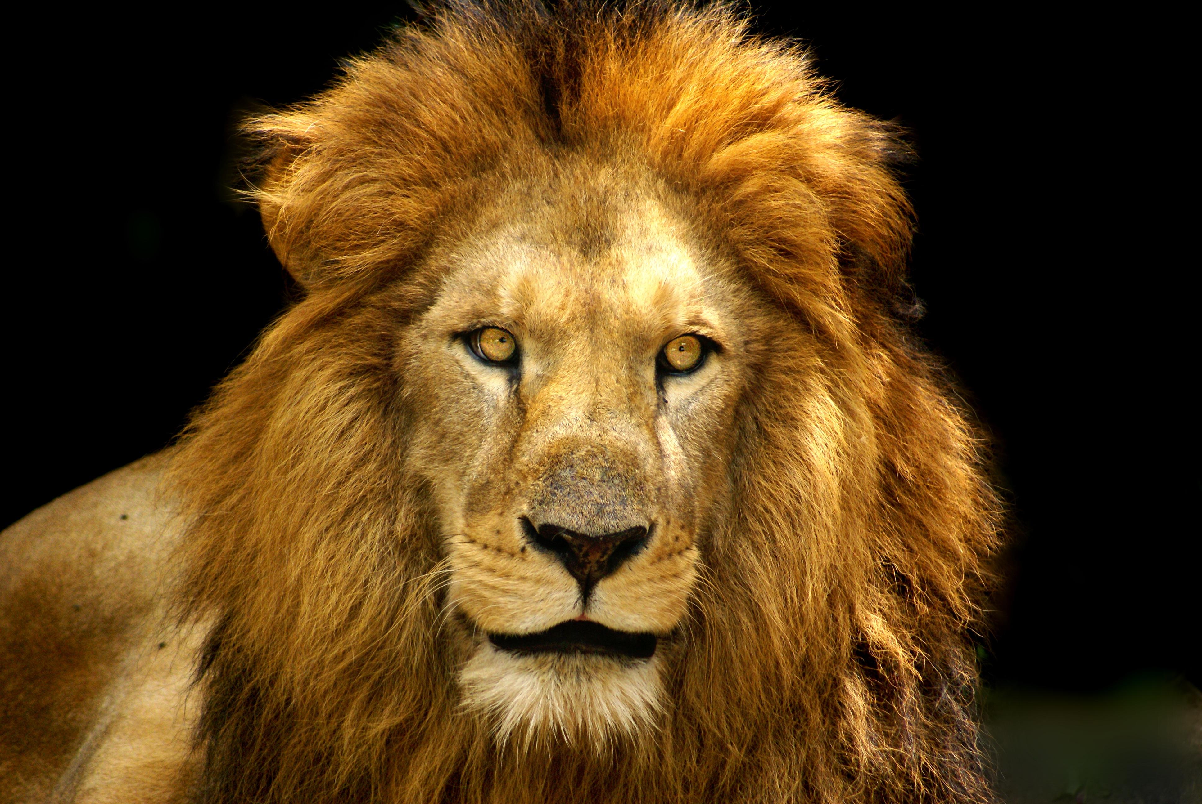 Free Images : wildlife, mane, fauna, savanna, close up