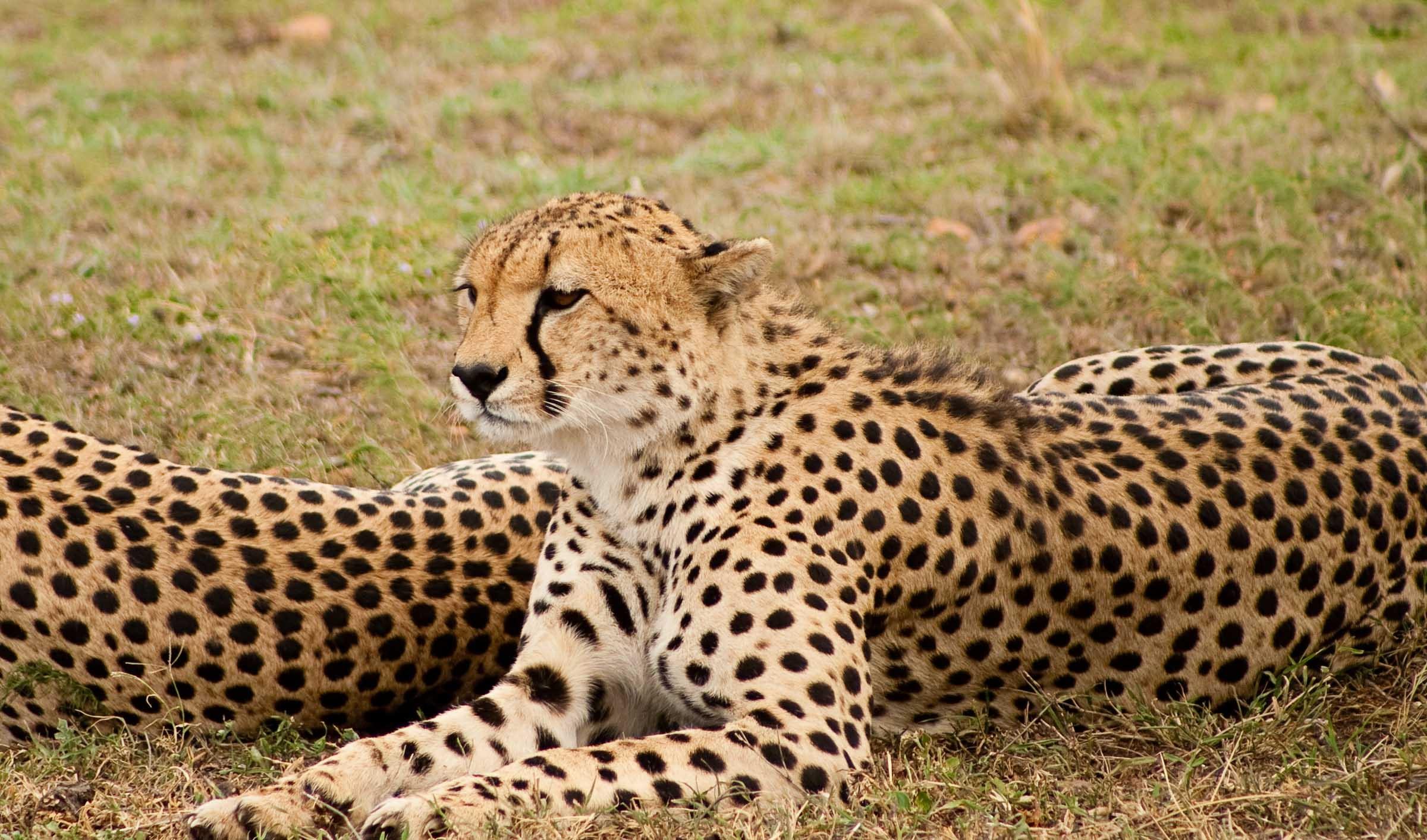 большие картинки гепарда бревен