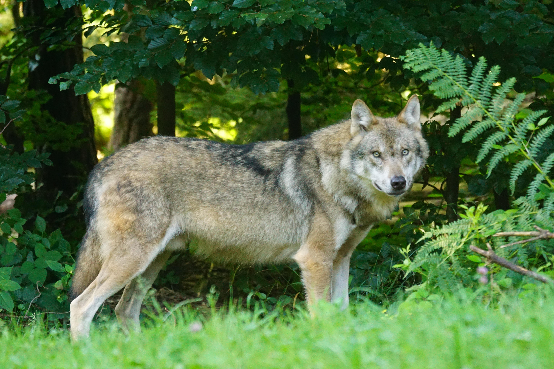 Картинки волки в лесу