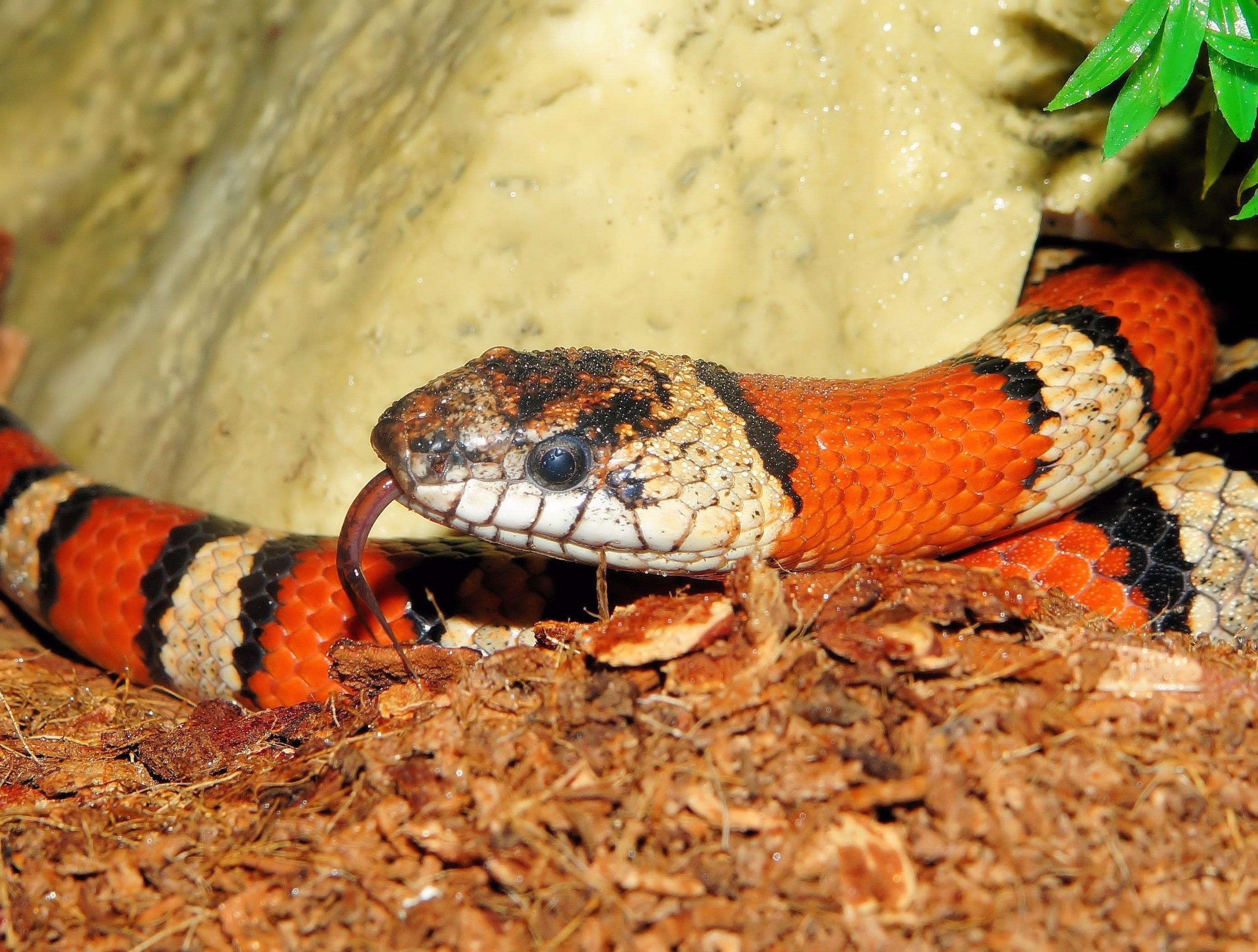 1 svart slange