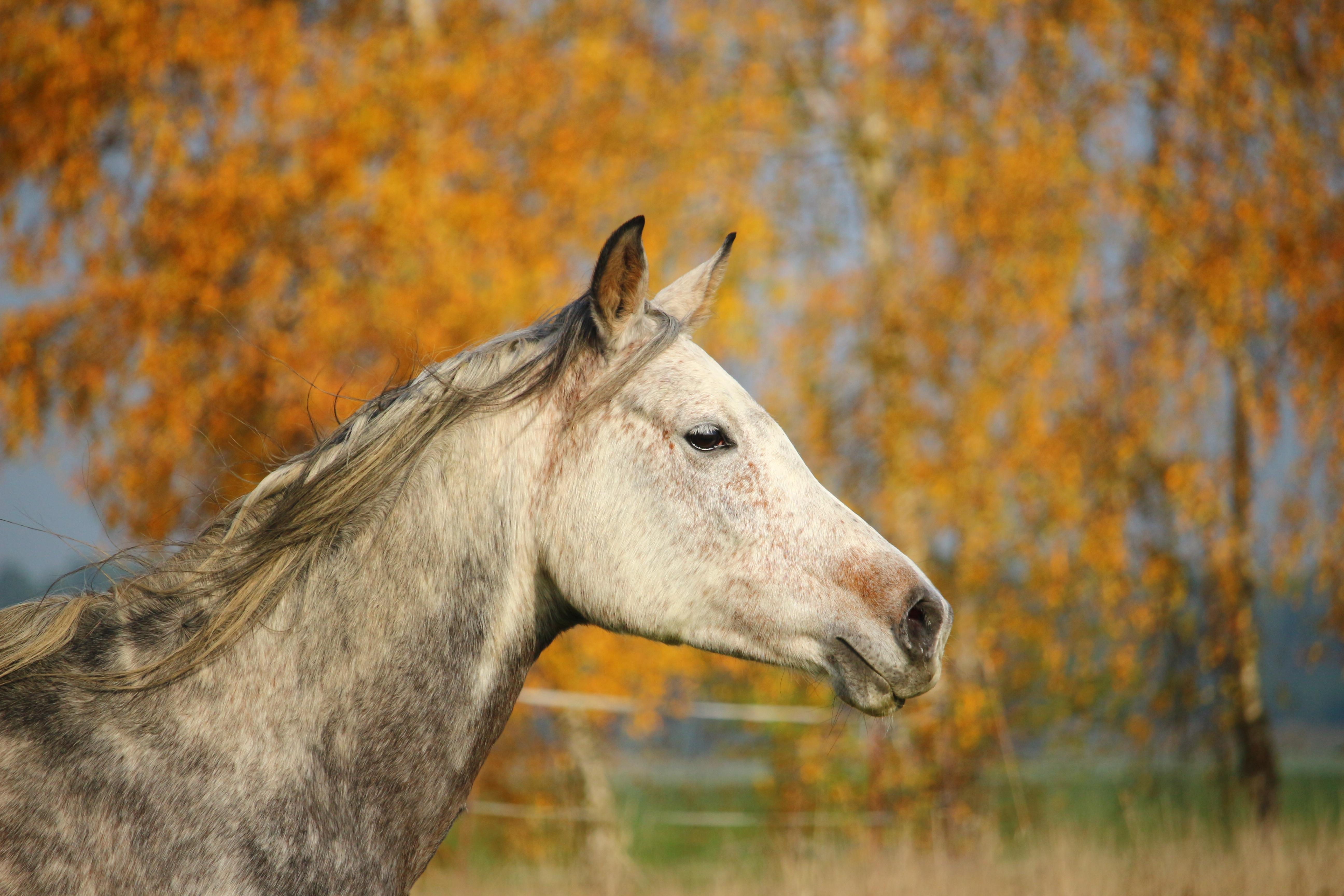 zvěř a rostlinstvo pastvina kůň podzim savec hřebec hříva fauna obratlovců  kobyla plíseň hříbě hlava koně b1d7966404