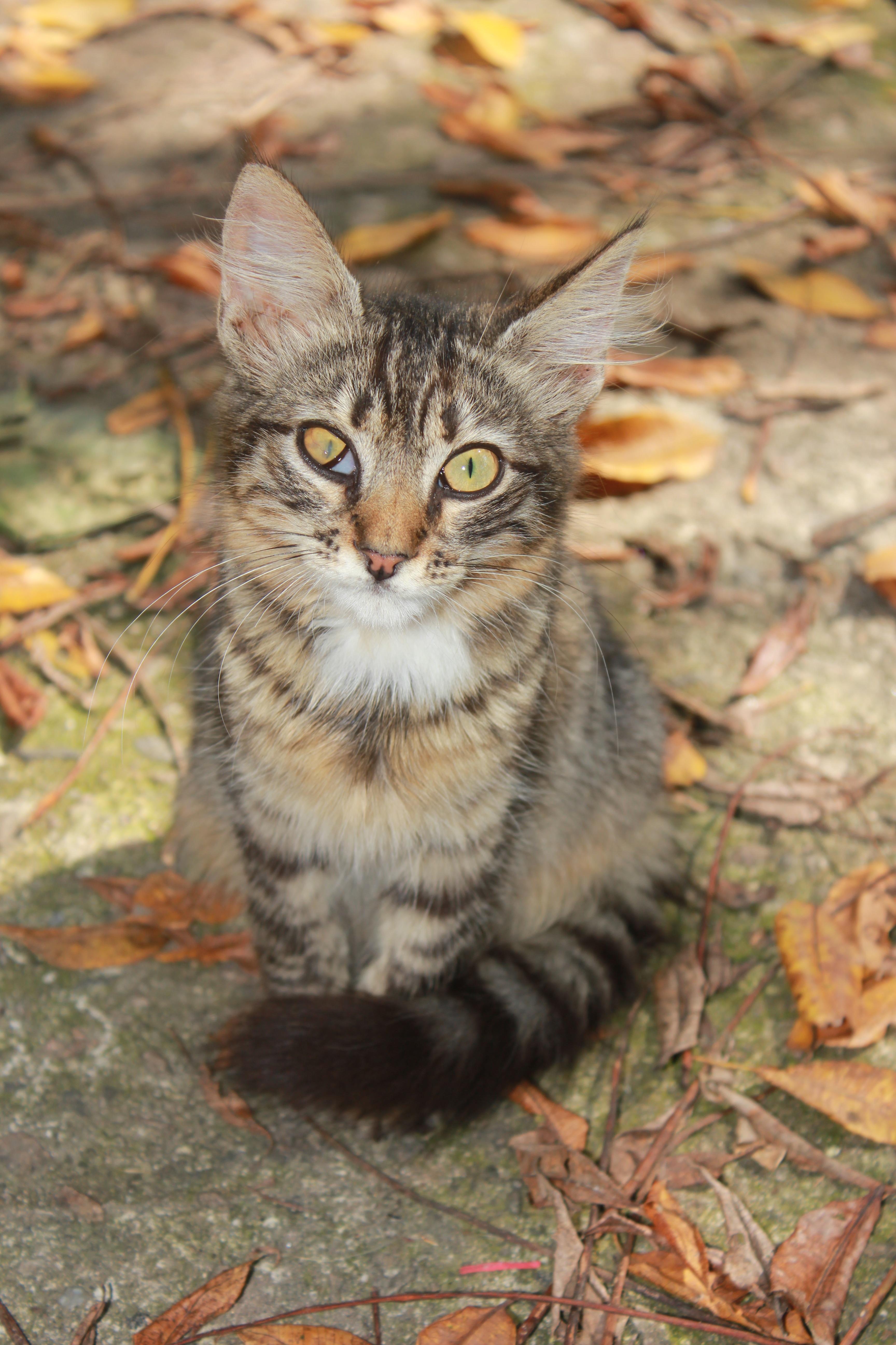 無料画像 野生動物 ペット 子猫 ネコ 裏庭 哺乳類 動物相 ウィスカー 眼 脊椎動物 病気