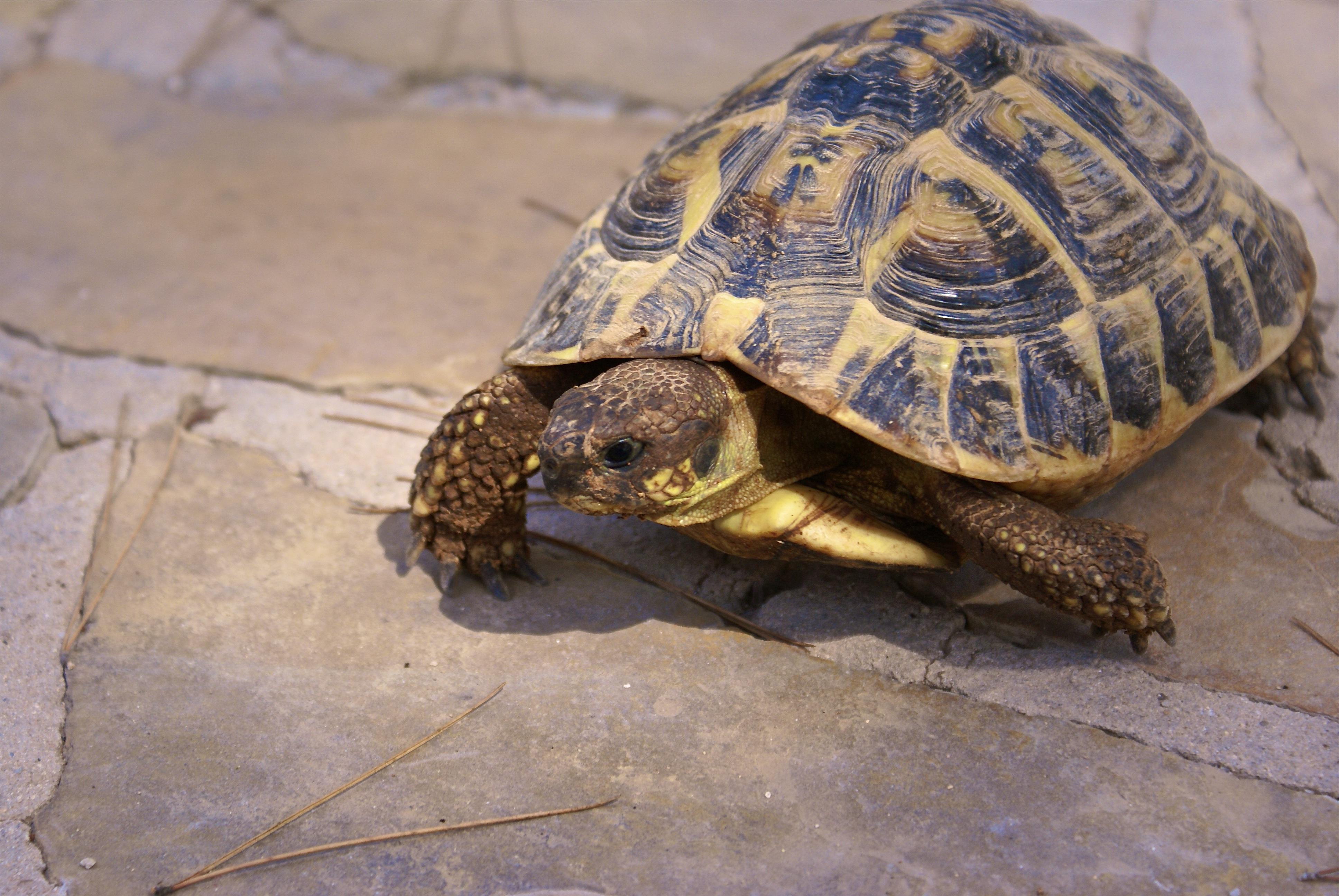 Картинки про черепах домашних
