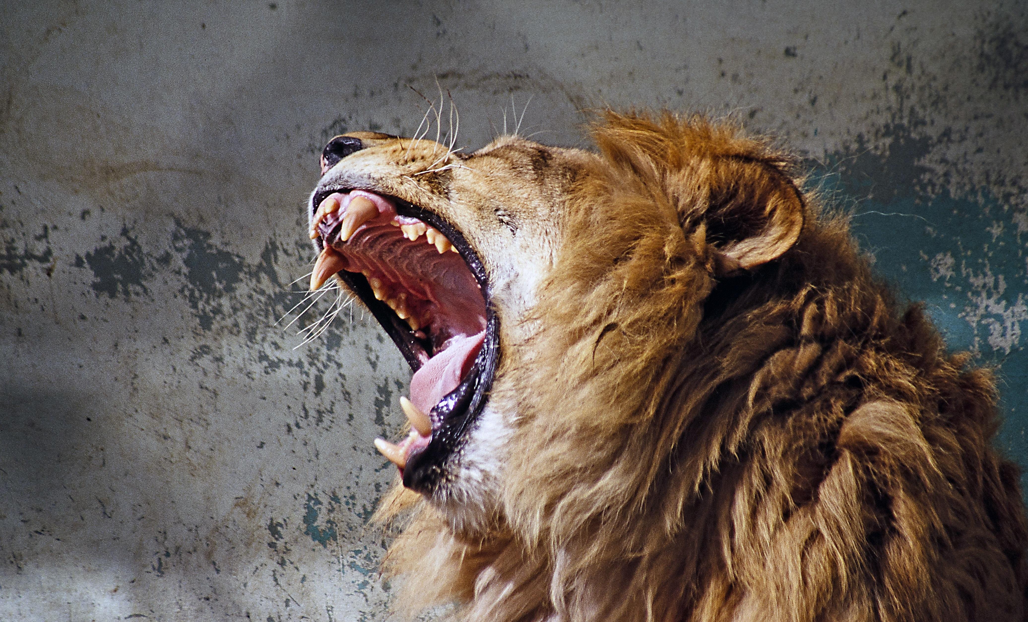 Images gratuites faune portrait crini re pr dateur - Photos de lions gratuites ...