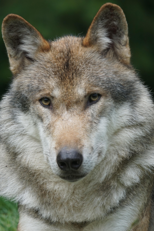 Free Images : portrait, predator, fauna, vertebrate ...