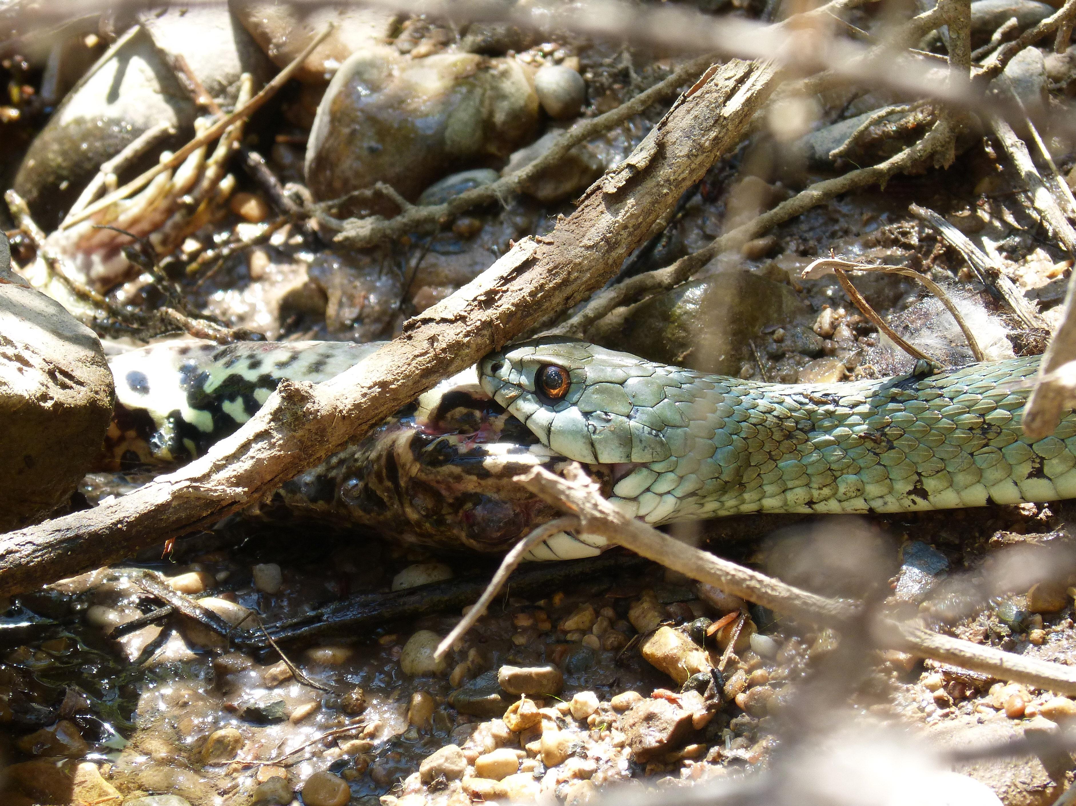 Лягушка и змея картинка