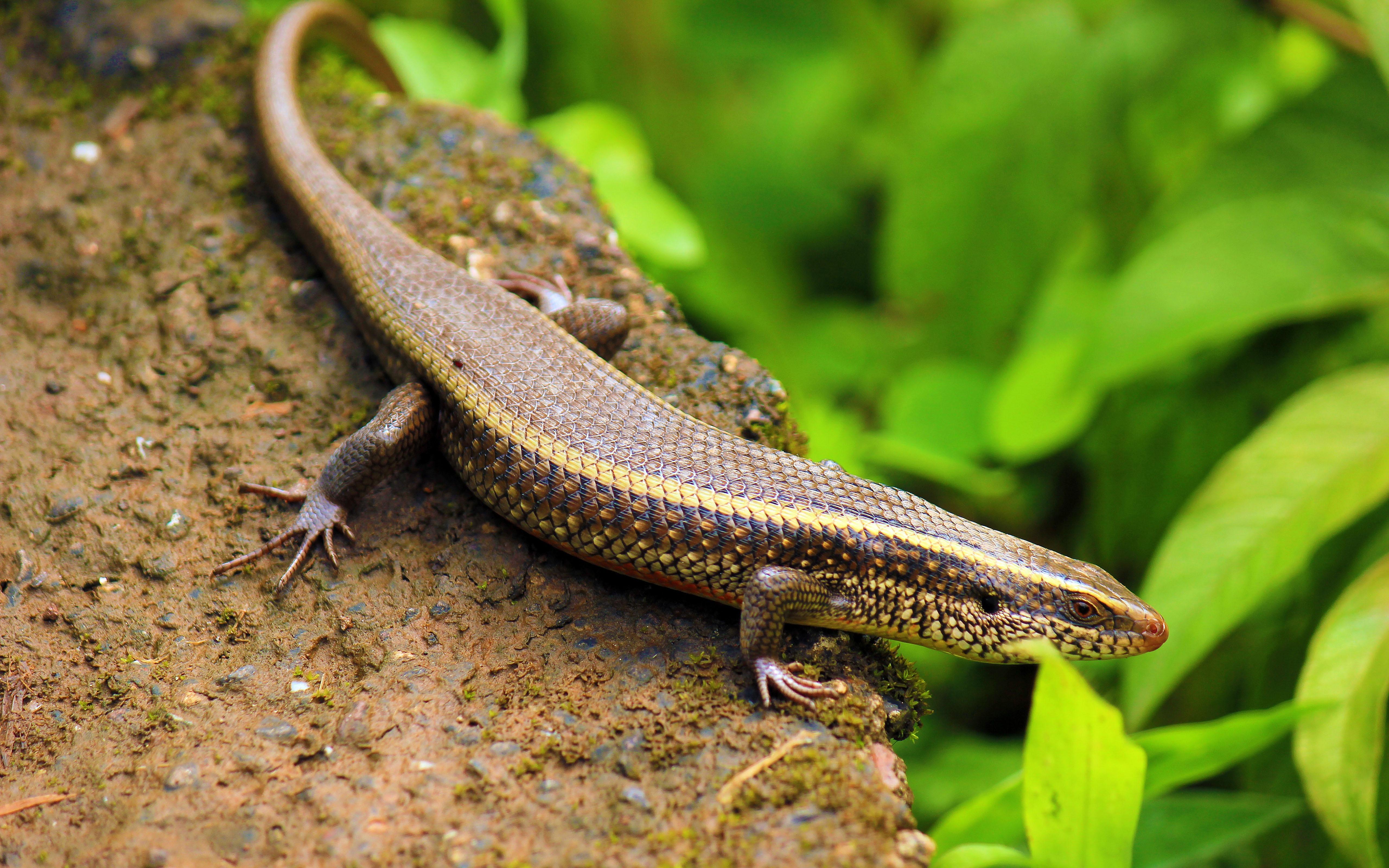 salamanda lizard