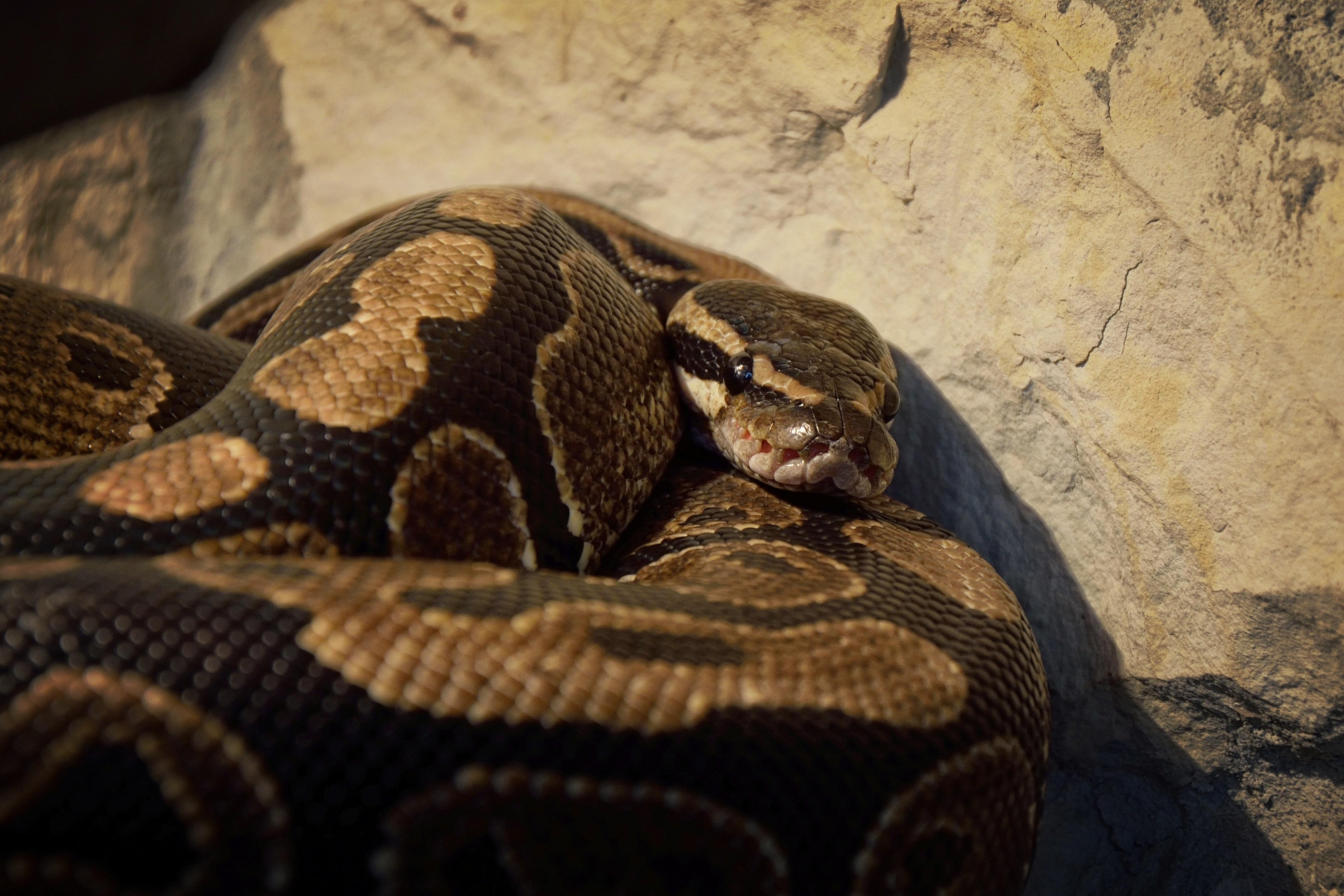 Free Images Wildlife Fauna Background Snake Vertebrate