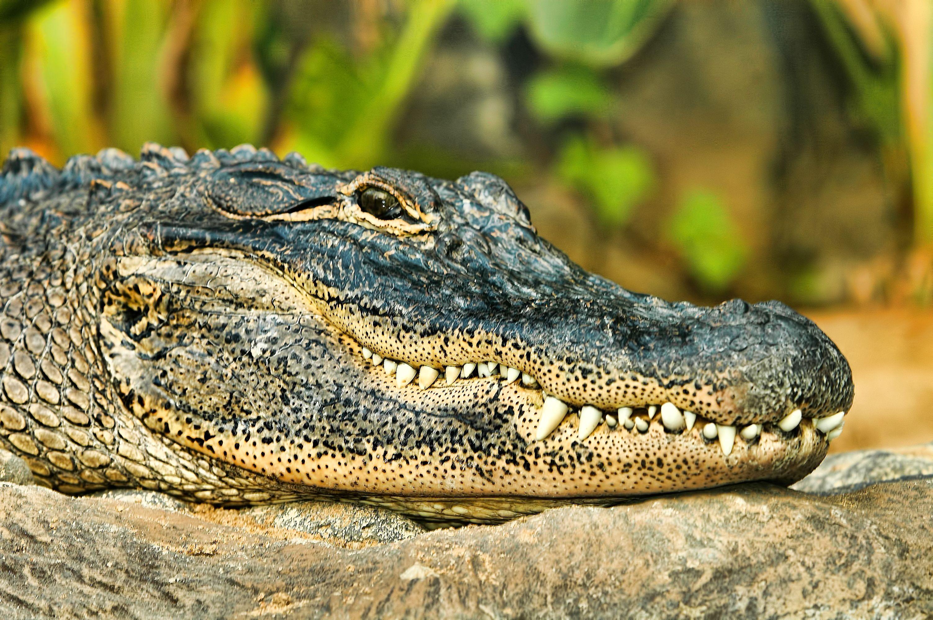 Картинки про крокодил