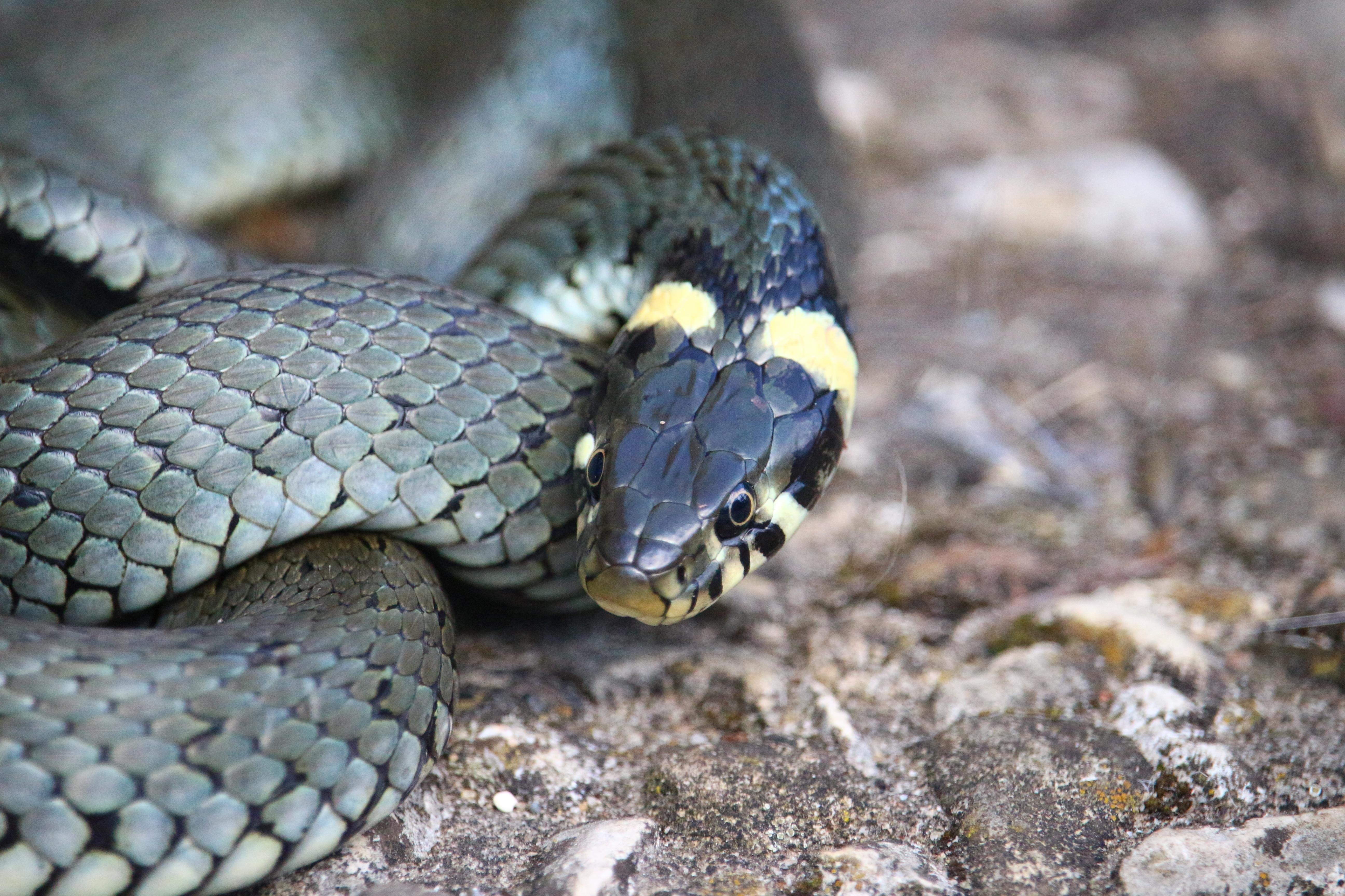 ядовитые змеи урала фото это