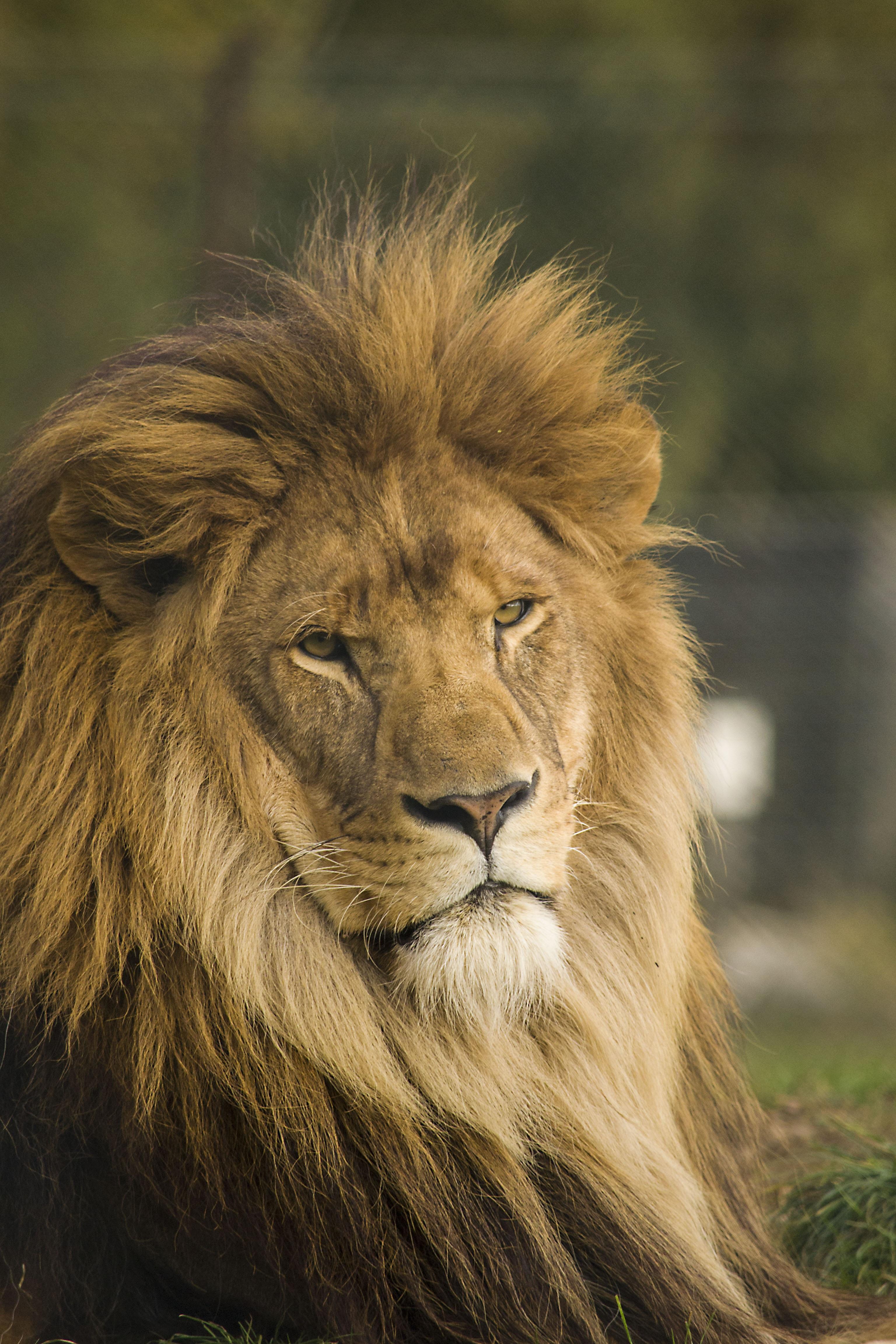 Images gratuites faune sauvage chat crini re savane - Photos de lions gratuites ...