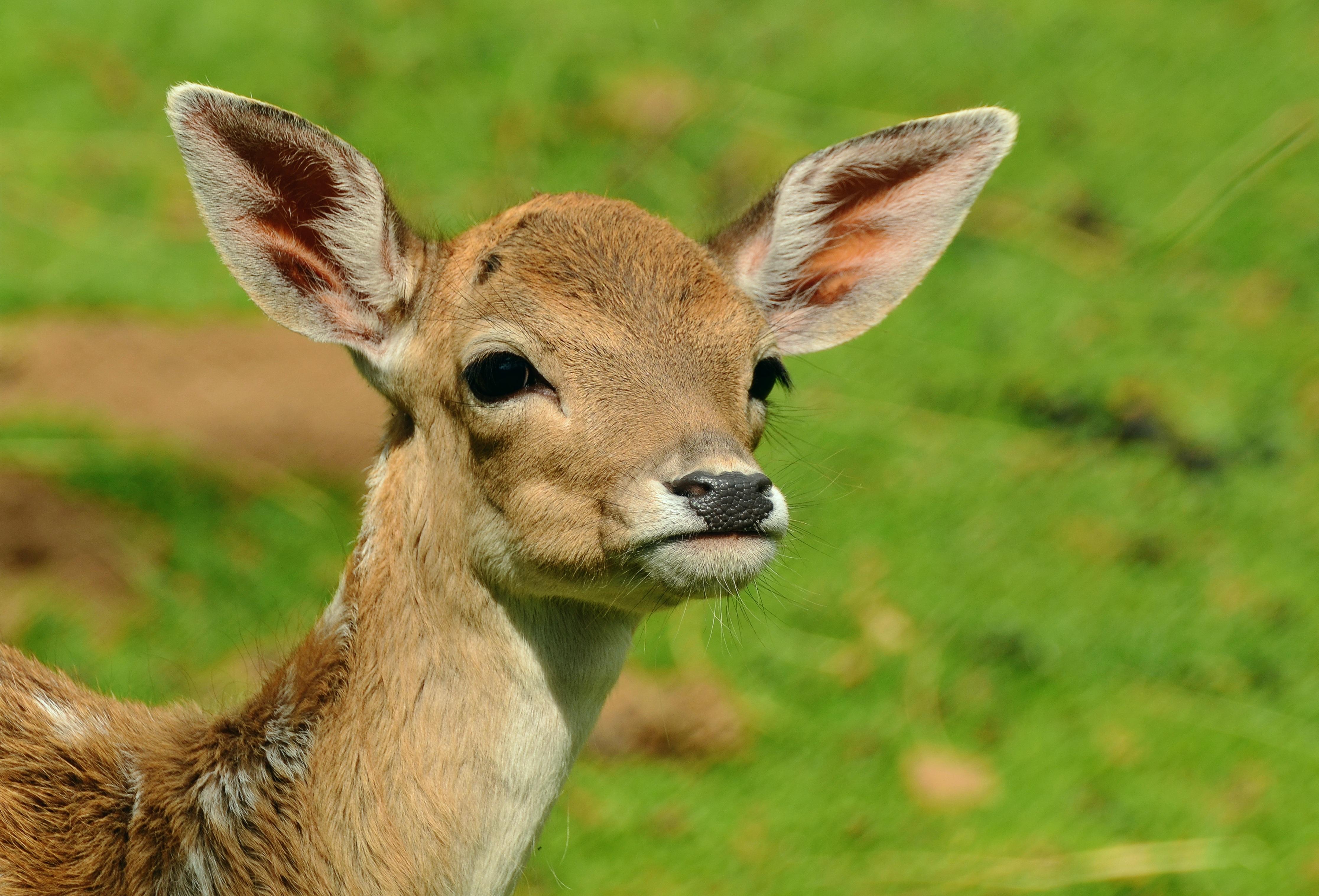 Immagini belle natura selvaggio mammifero fauna for Capriolo animale