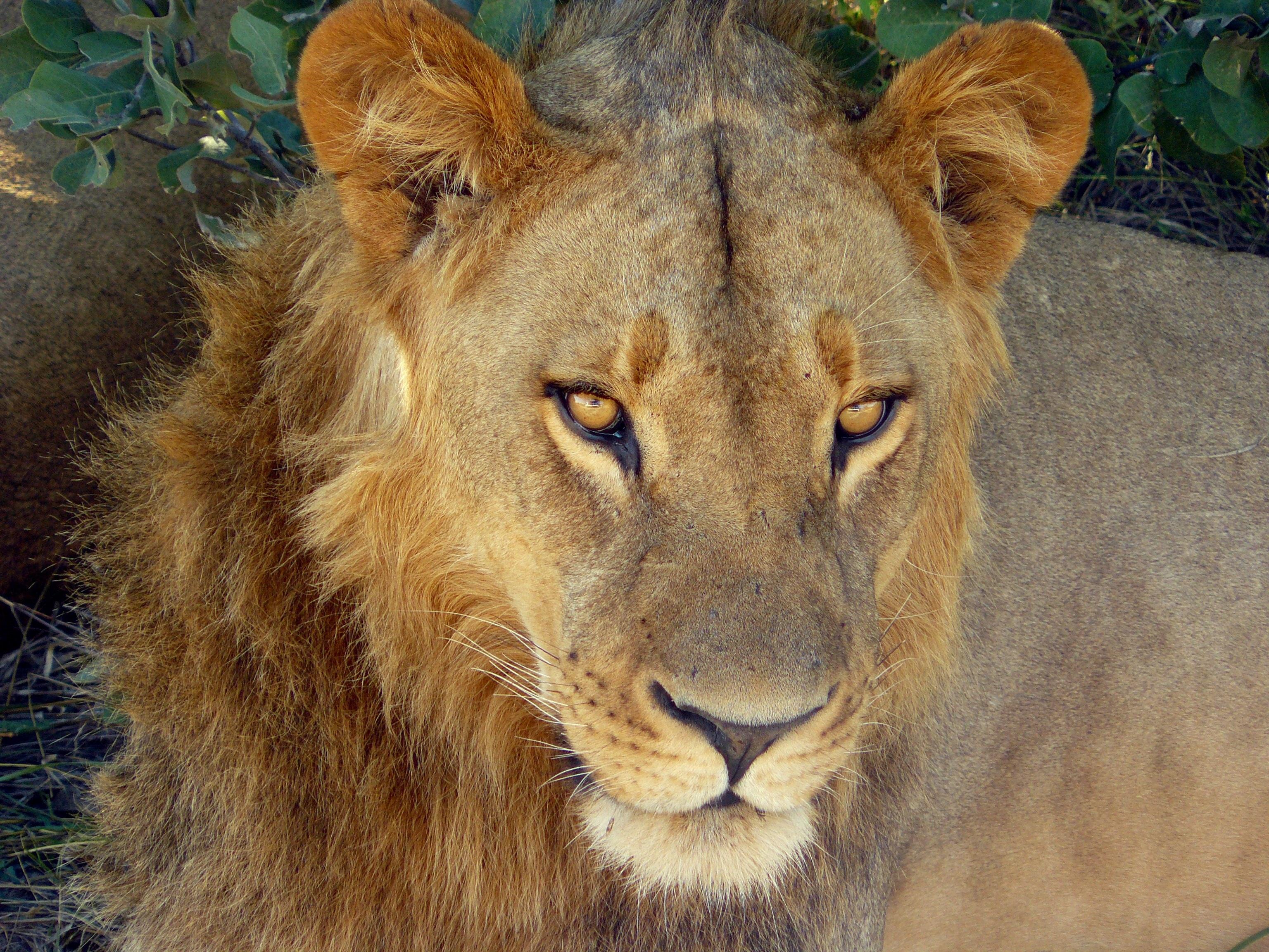 Images gratuites faune sauvage portrait parc f lin - Photos de lions gratuites ...