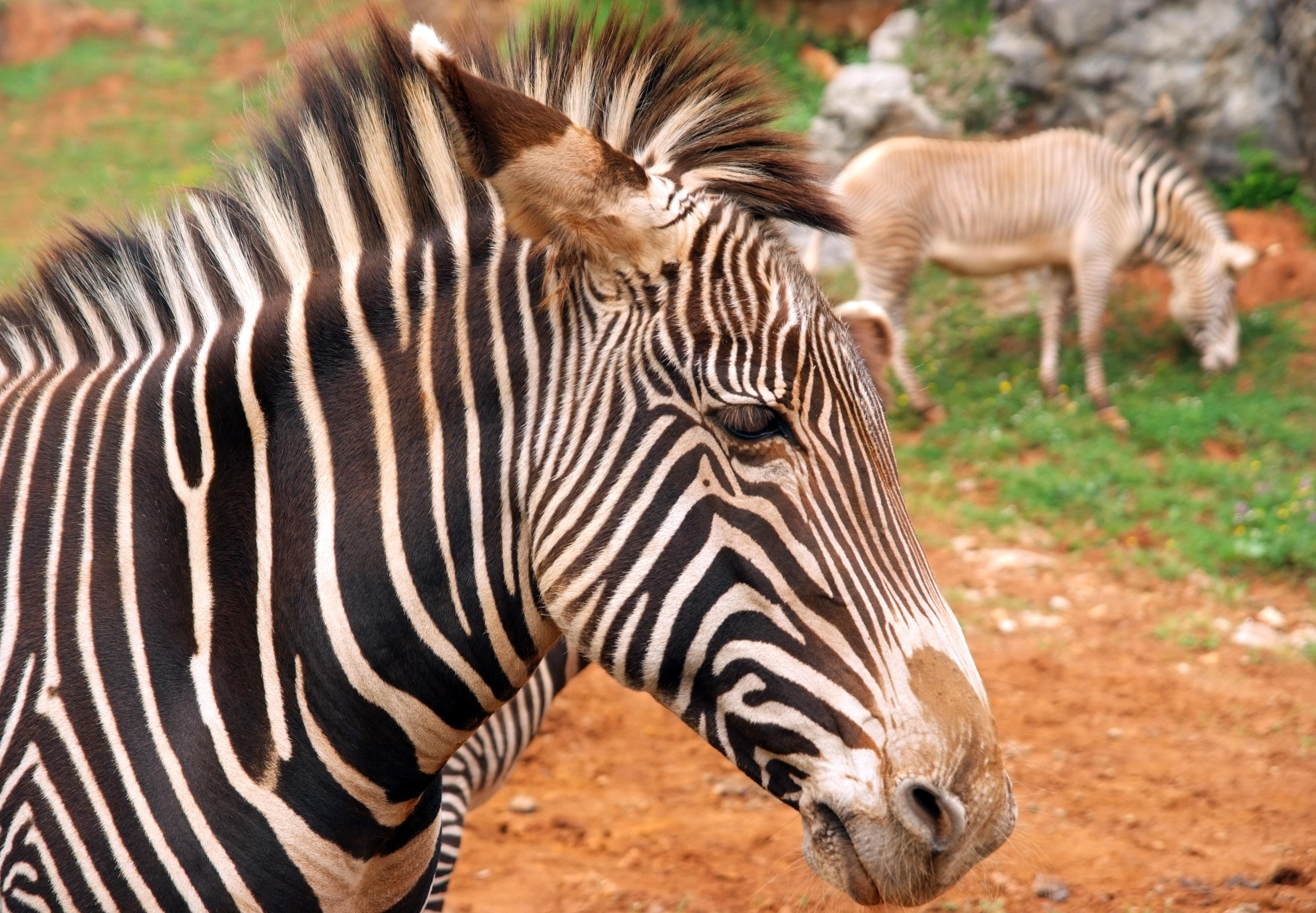images gratuites faune zoo afrique savane z bre. Black Bedroom Furniture Sets. Home Design Ideas